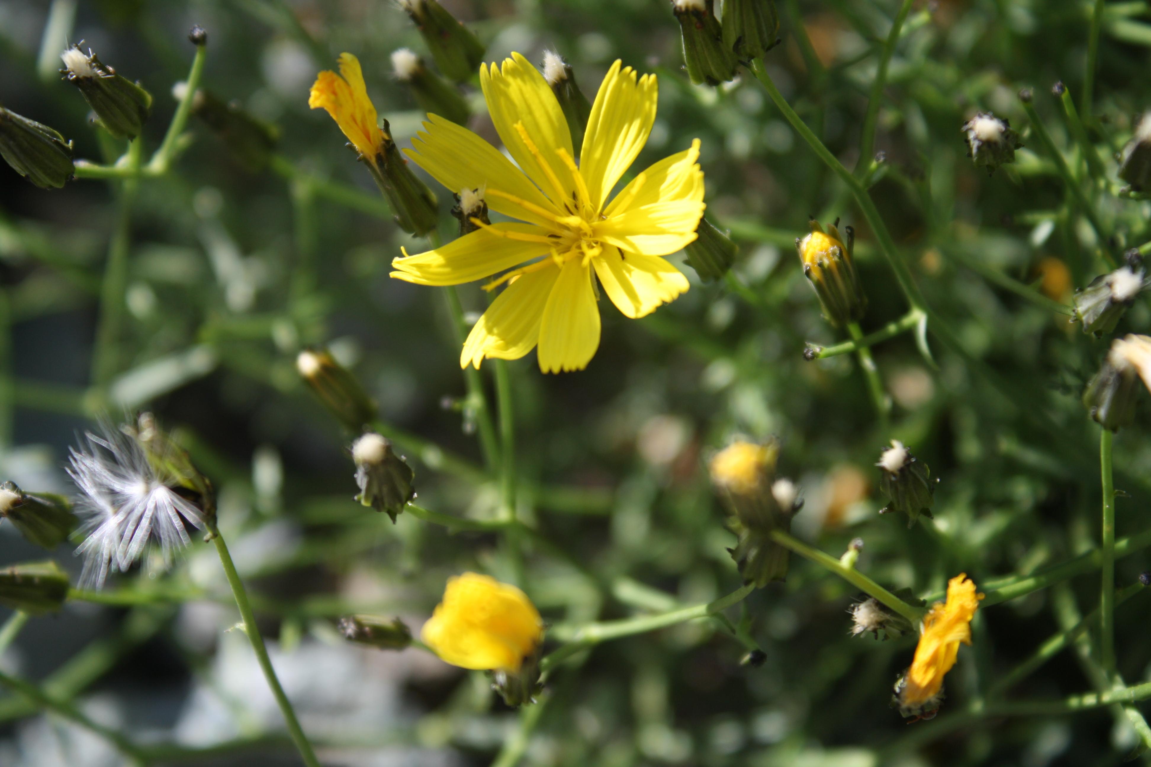 view image: Youngia tenuifolia (Willd.) Babc. & Stebbins
