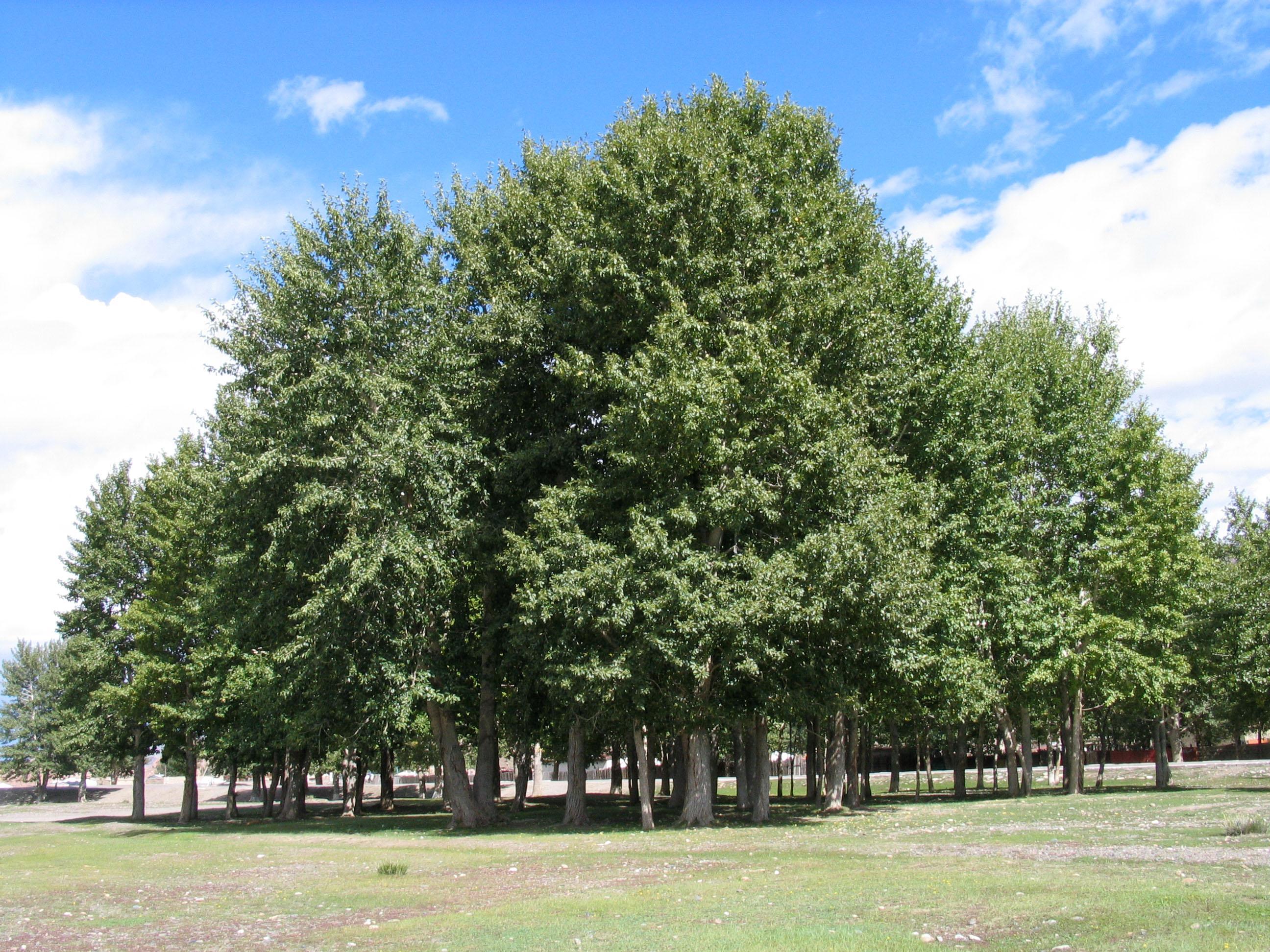 view image: Populus diversifolia Schrenk