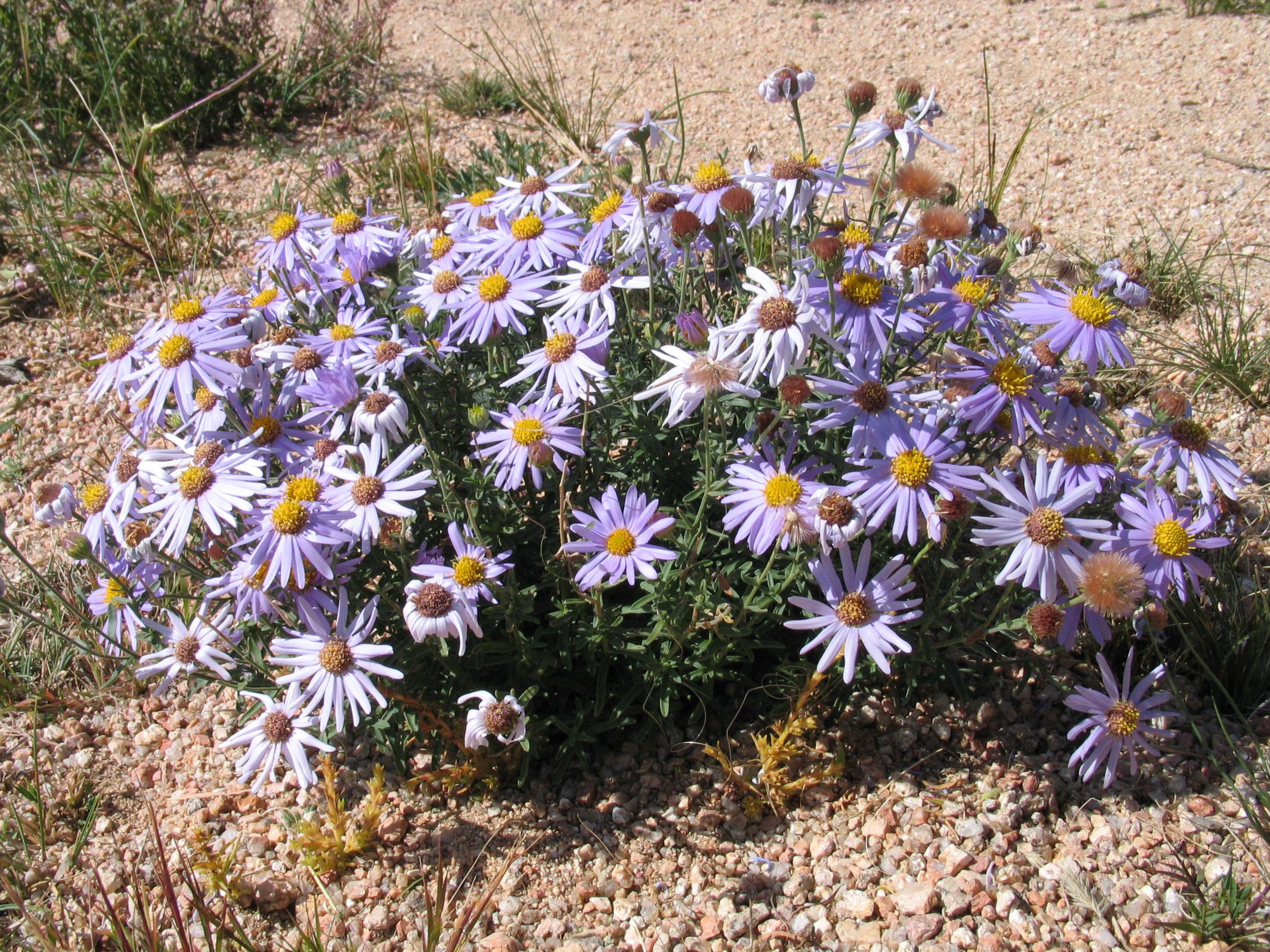 view image: Heteropappus altaicus (Willd.) Novopokr.