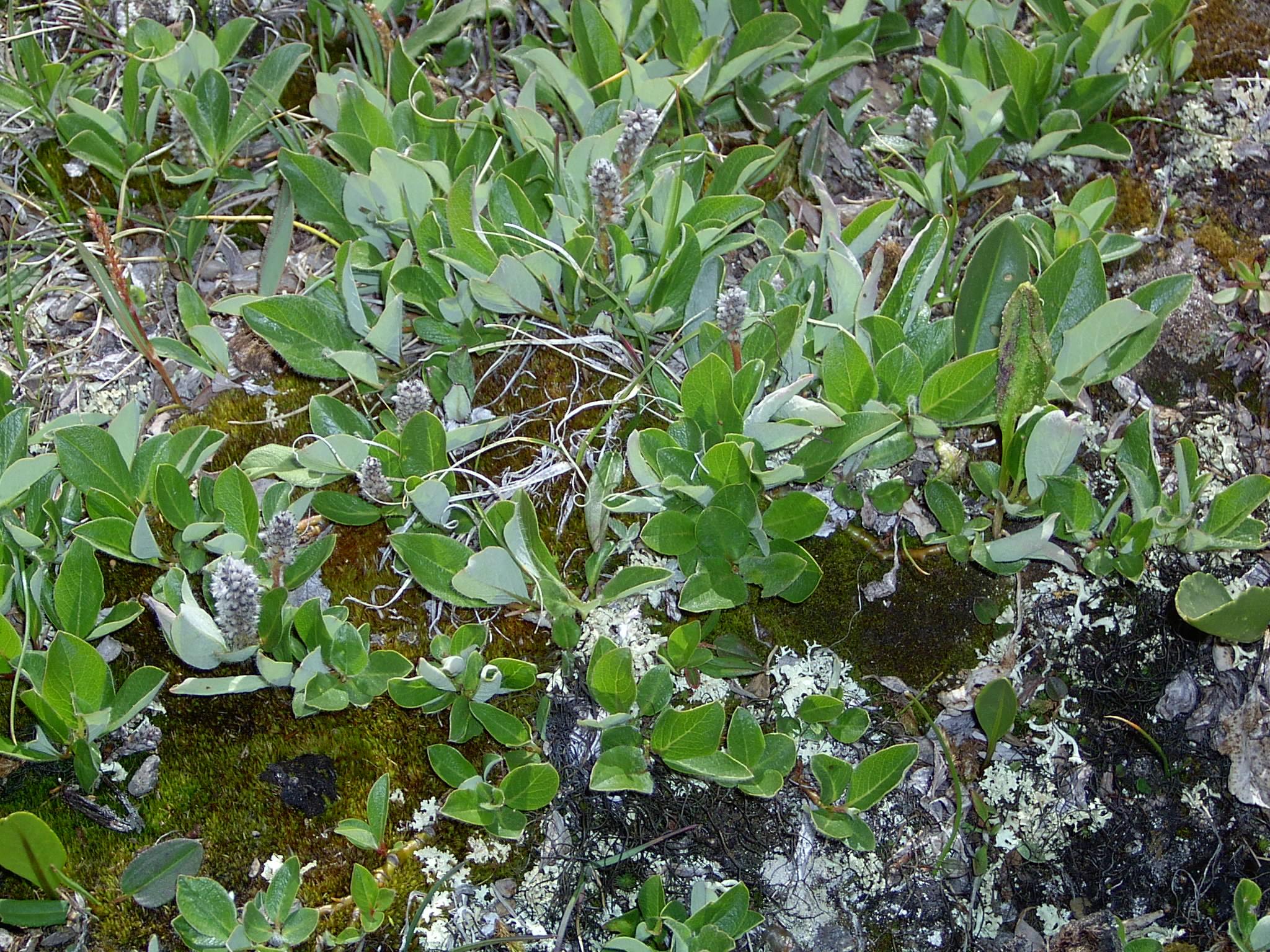 view image: Salix glauca L.