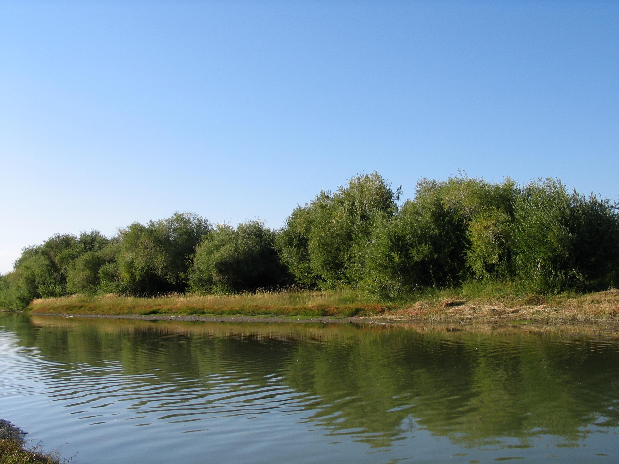 view image: Salix triandra L.