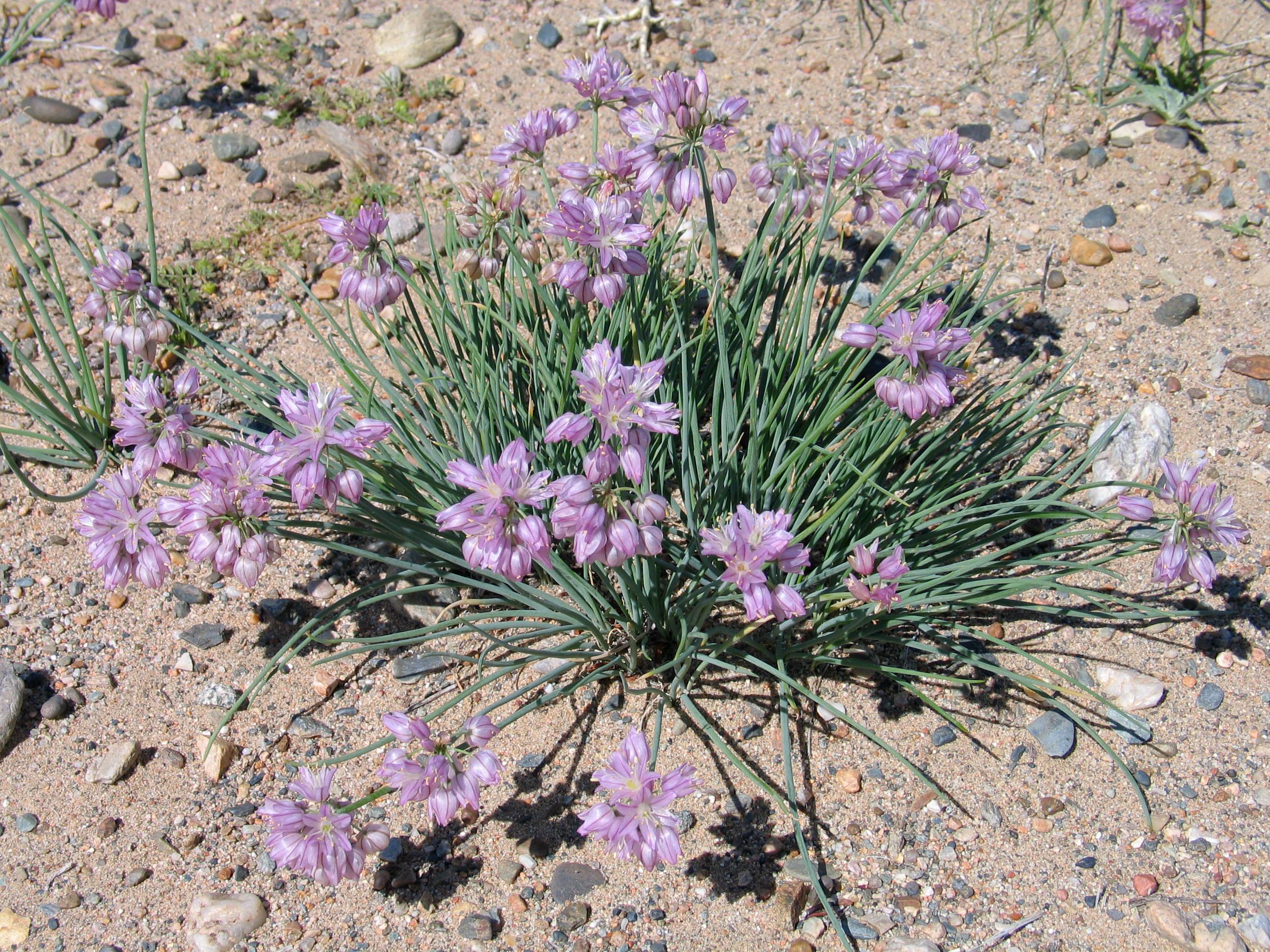 view image: Allium mongolicum Turcz. ex Regel