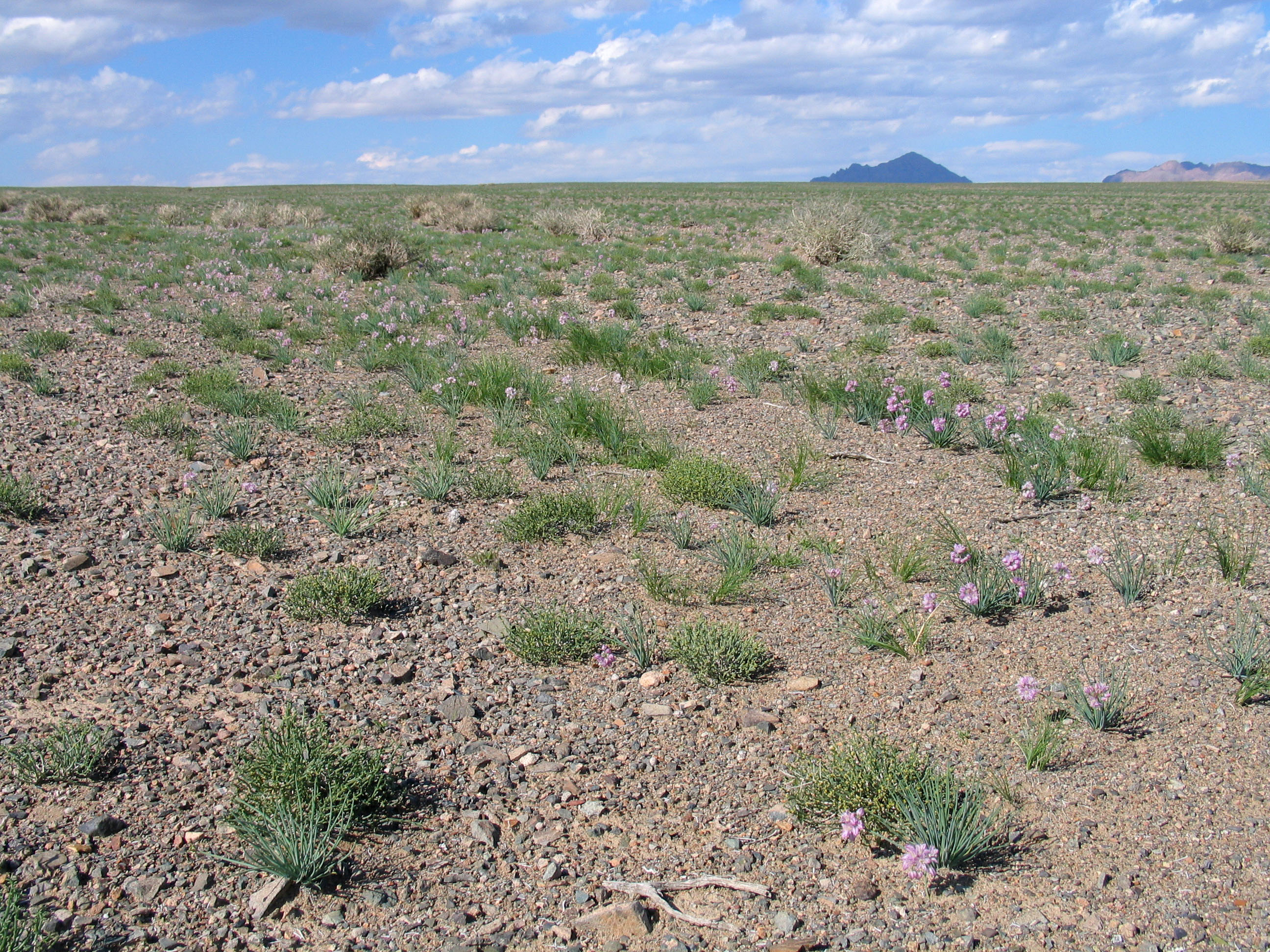 view image: Arnebia guttata Bunge