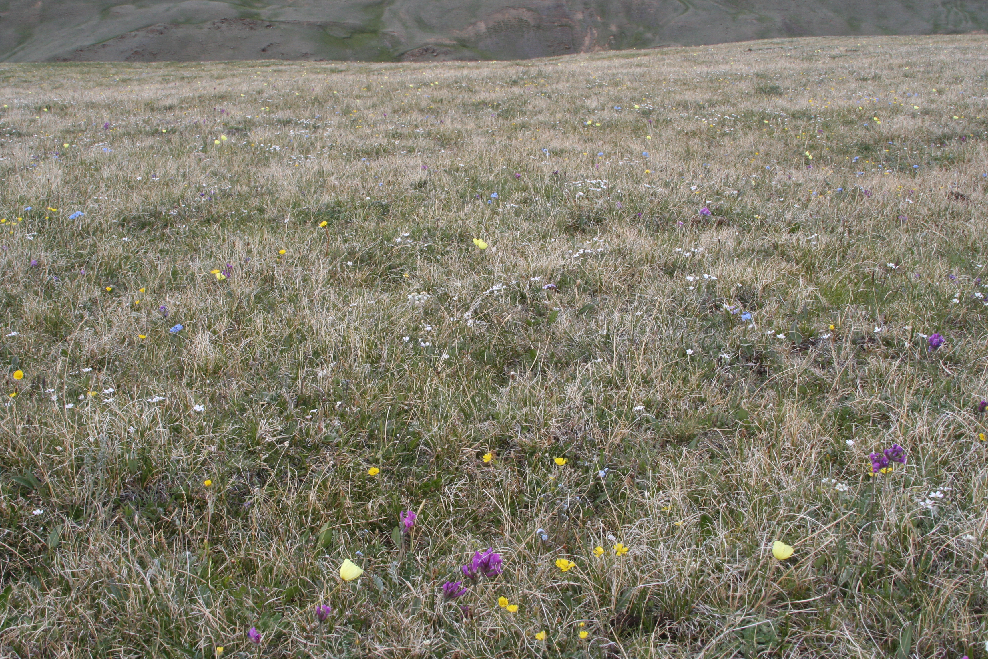 view image: Leontopodium ochroleucum Beauverd