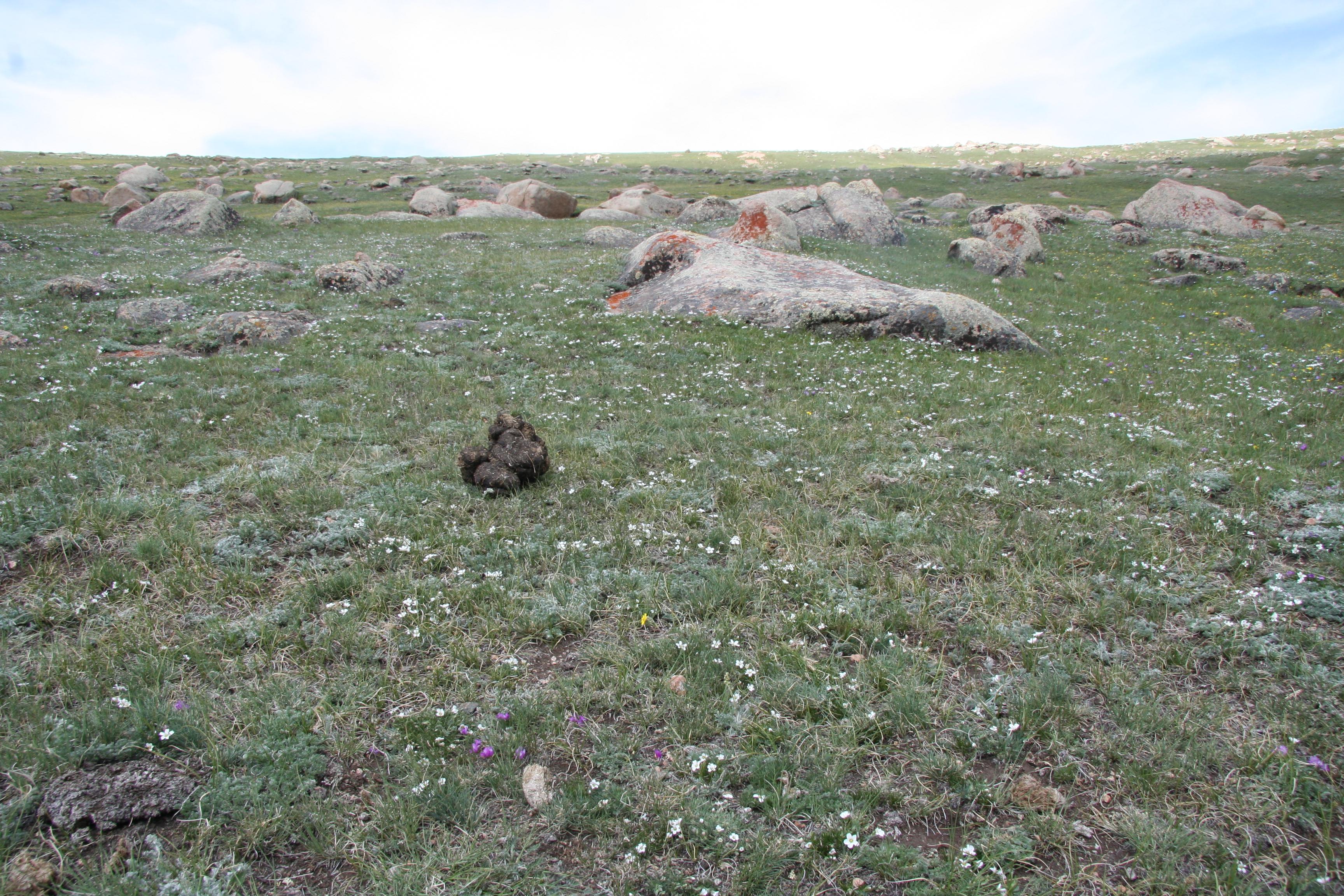 view image: Pachypleurum alpinum Ledeb.