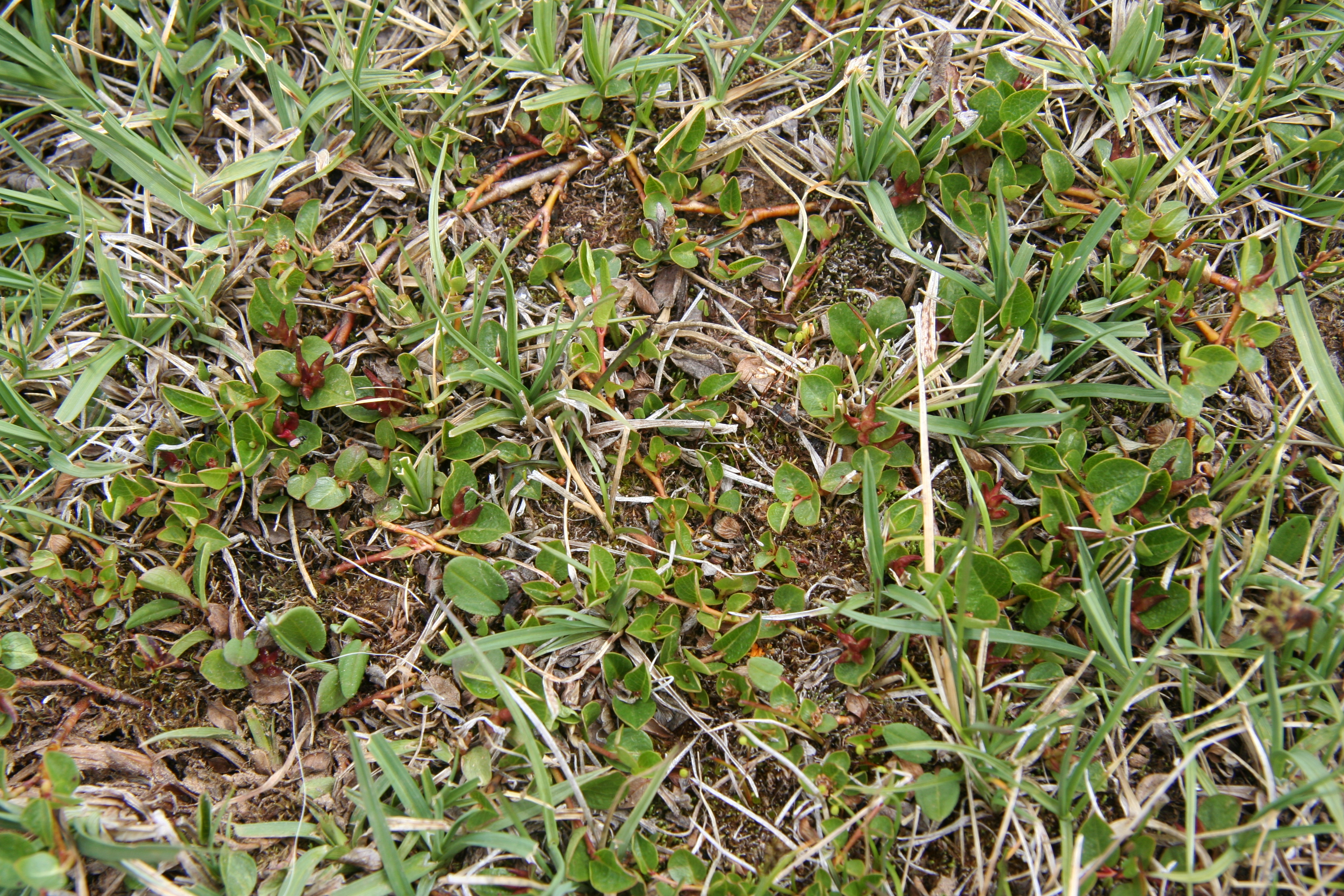 view image: Salix reticulata L.