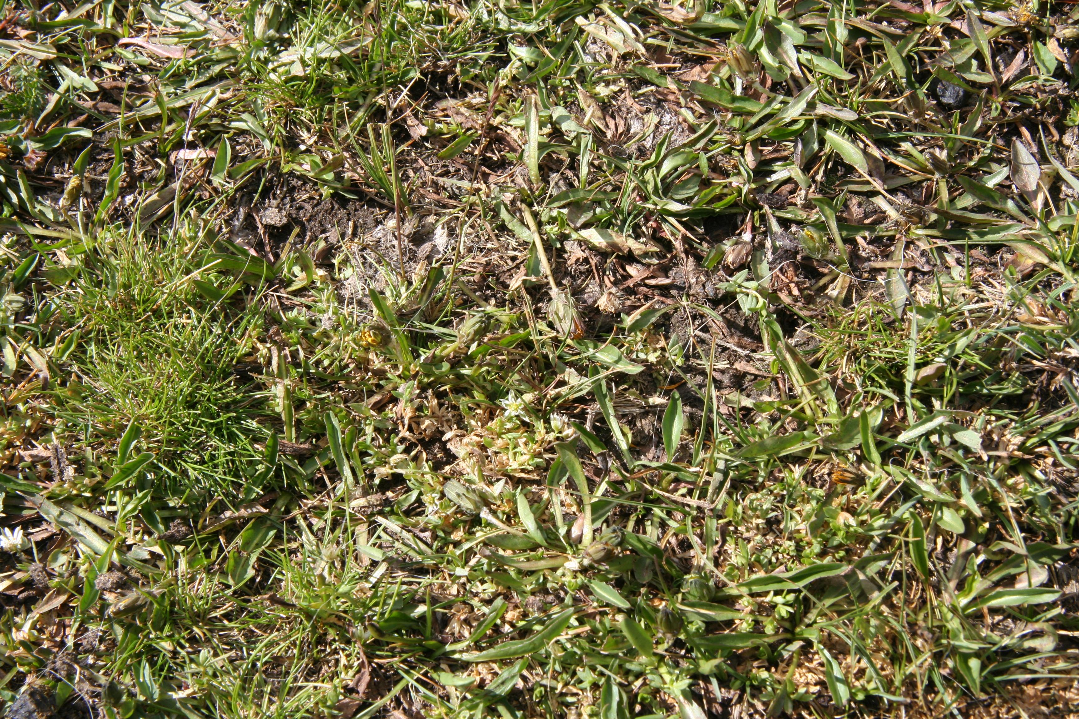 view image: Taraxacum brevirostre Hand. - Mazz.