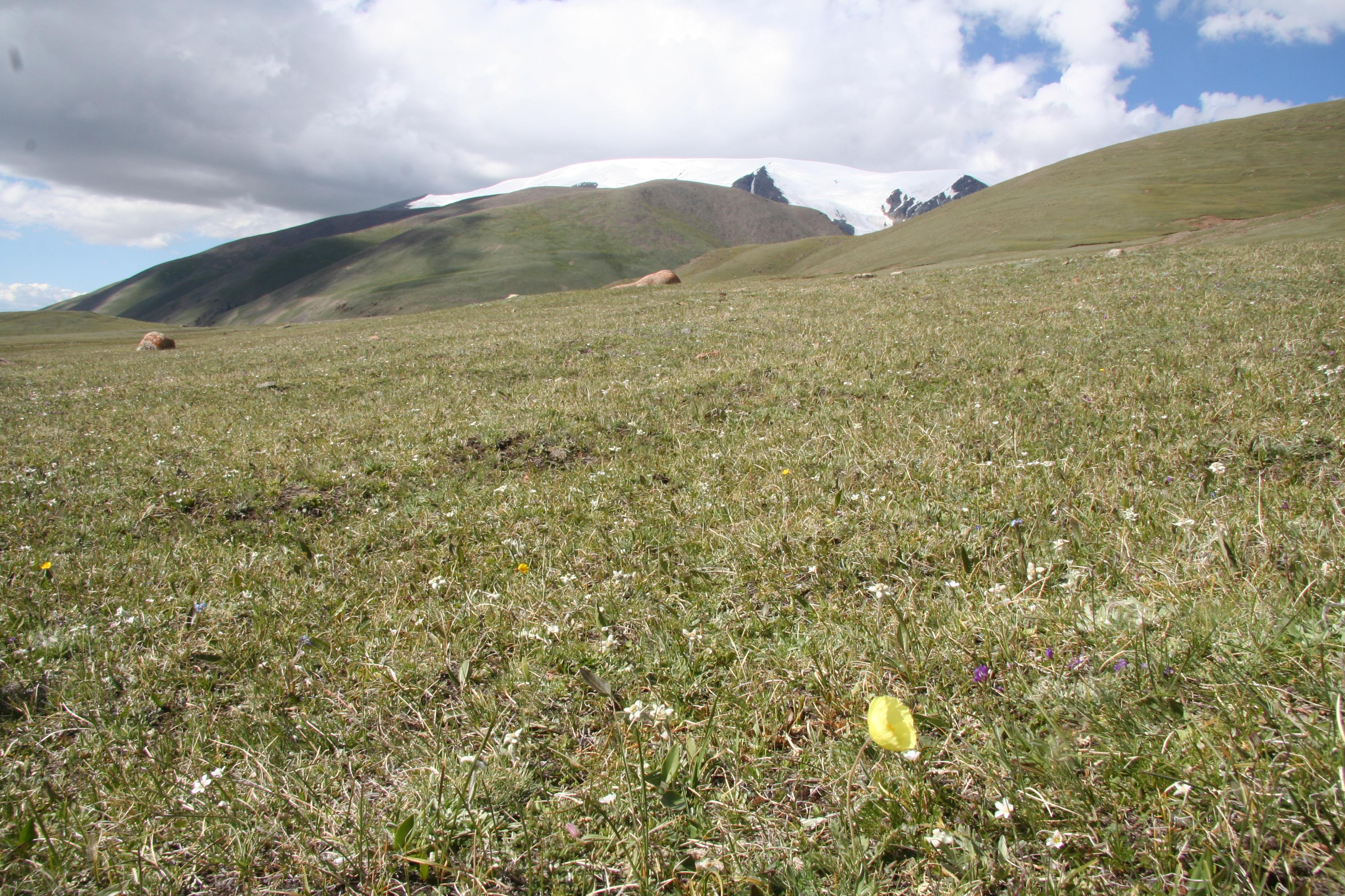 view image: Papaver pseudocanescens M. Pop.
