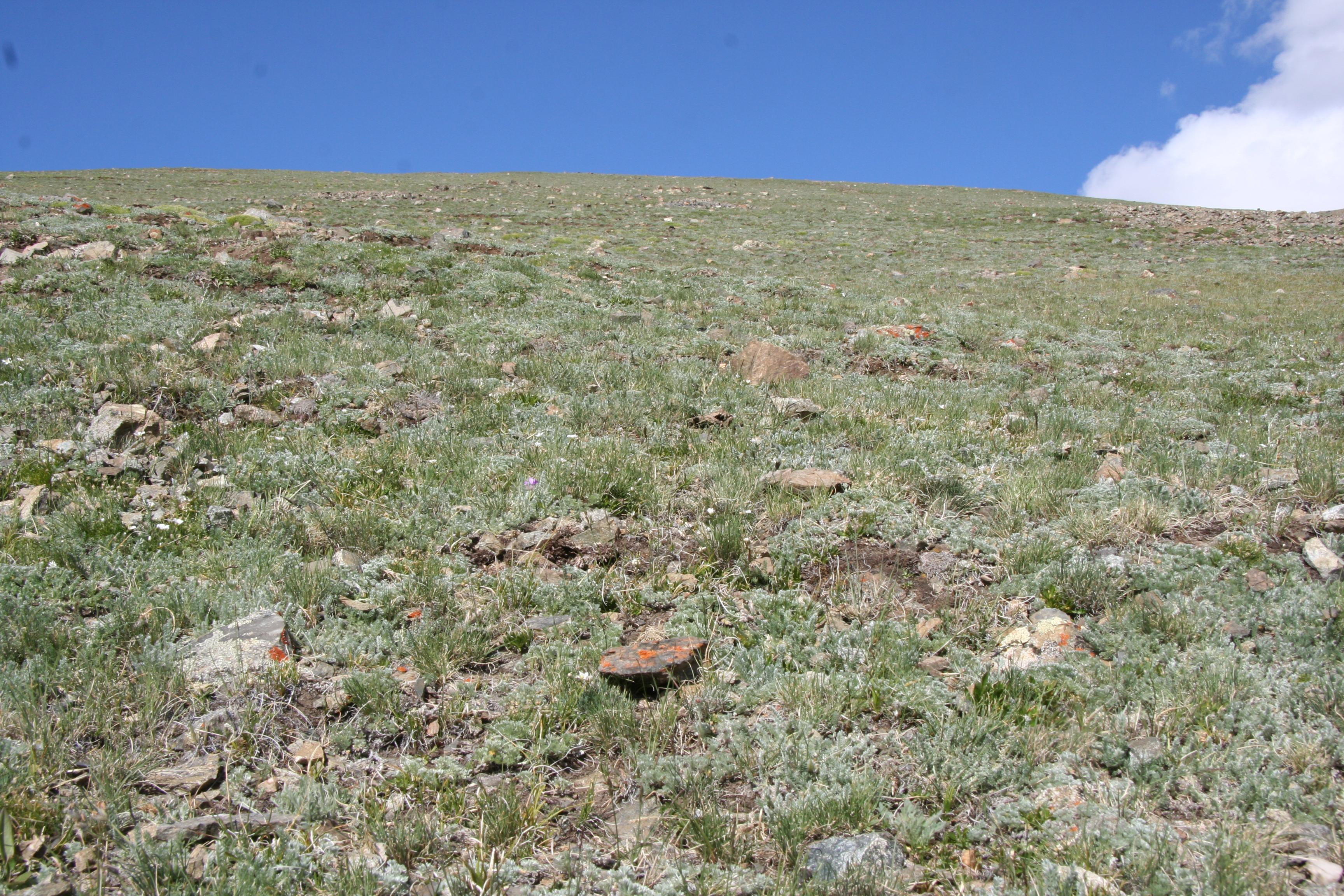 view image: Artemisia argyrophylla Ledeb.