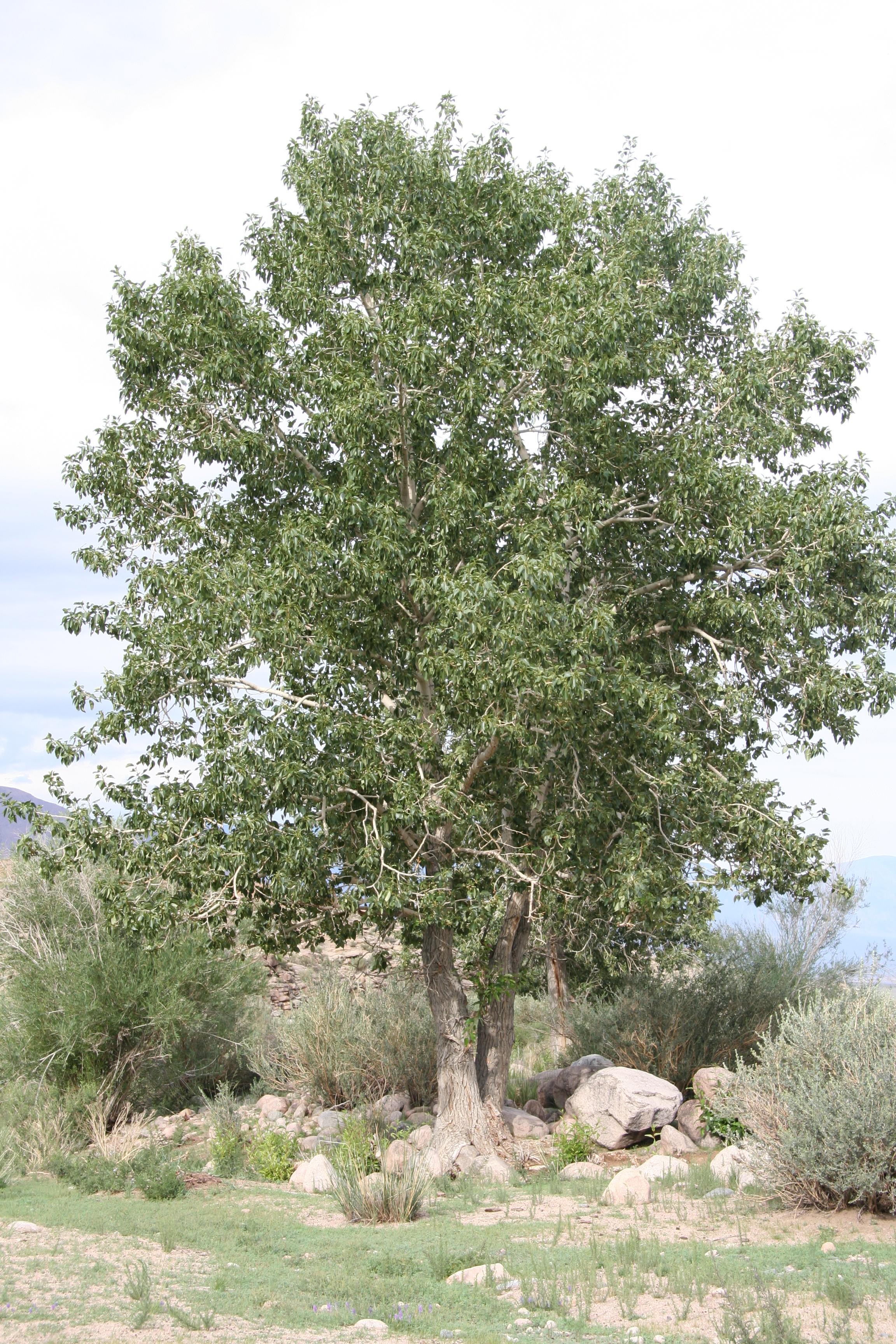 view image: Populus laurifolia Ledeb.