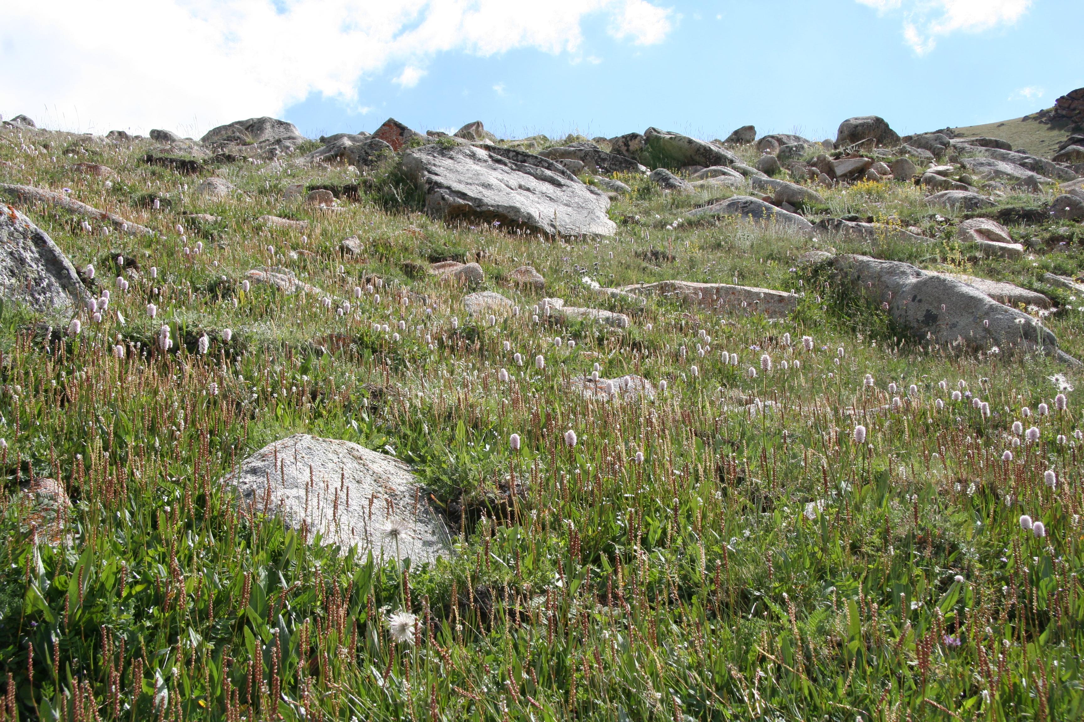 view image: Saussurea salicifolia (L.) DC.