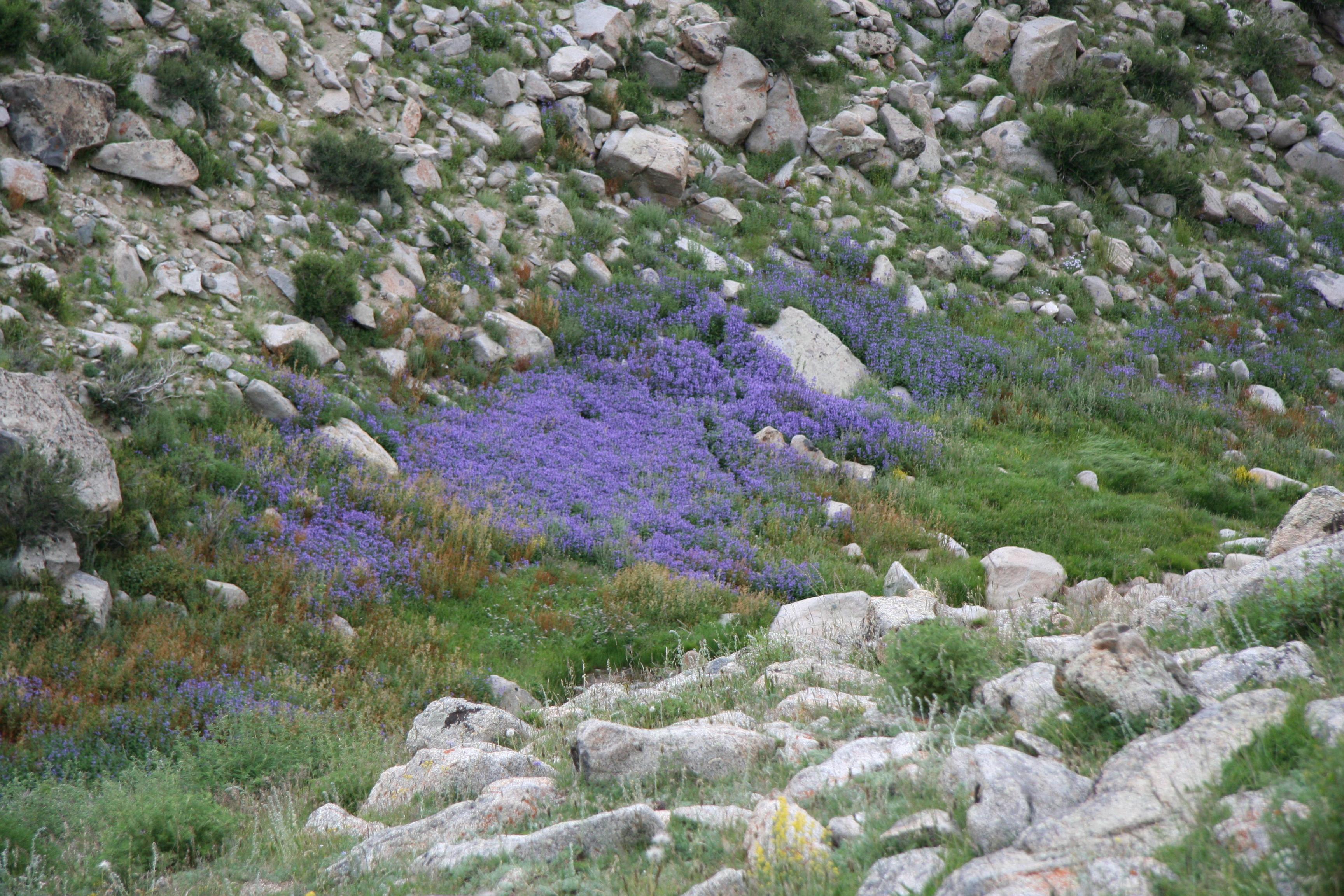 view image: Allium amphibolum Ledeb.