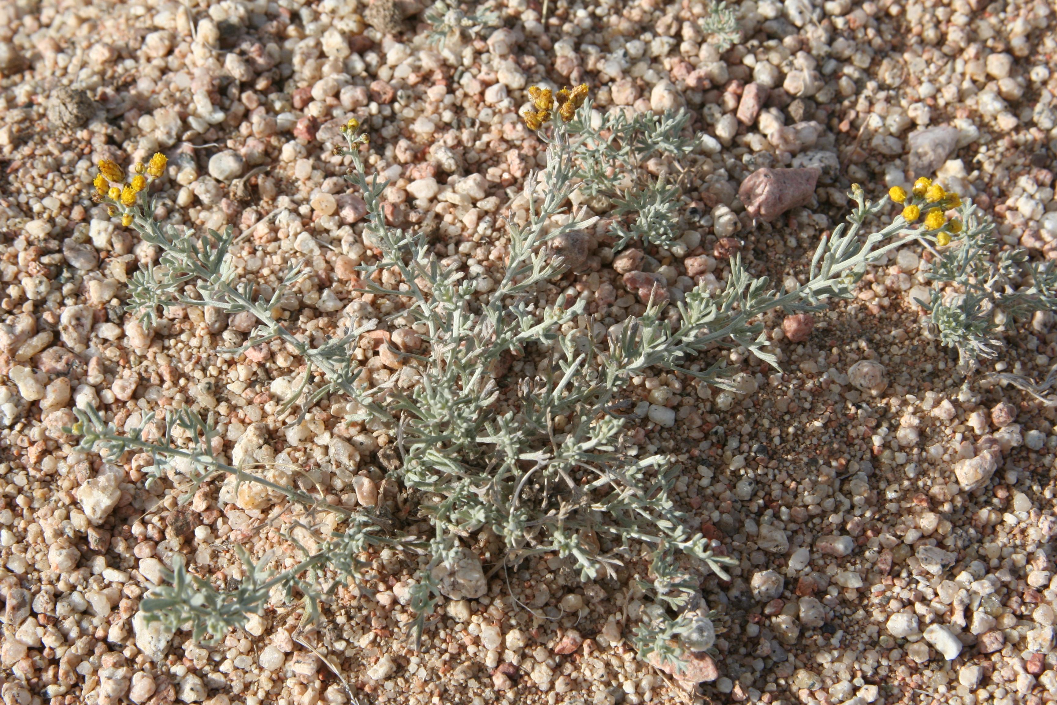view image: Ajania trifida (Turcz.) Tzvel.