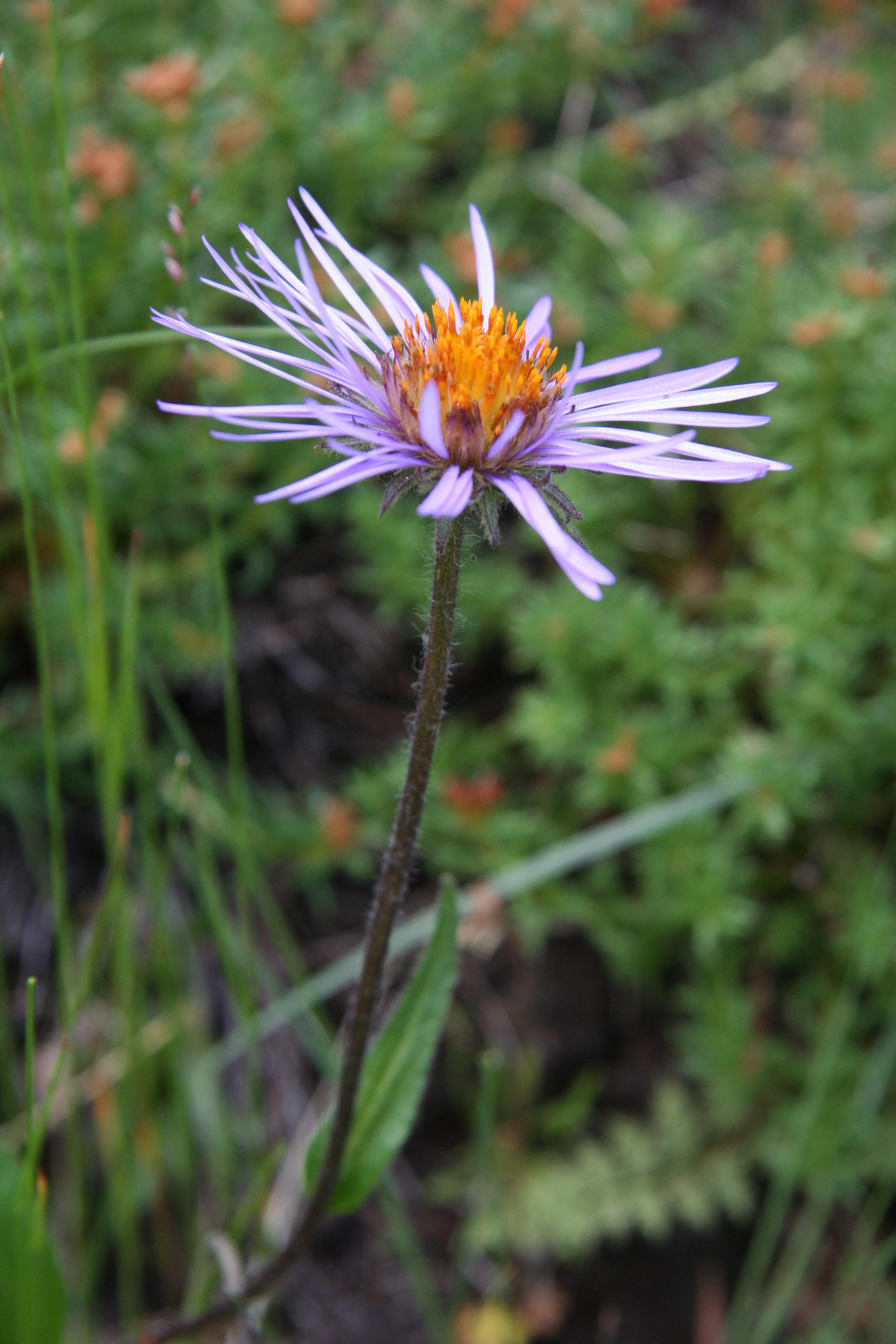 view image: Aster alpinus L.