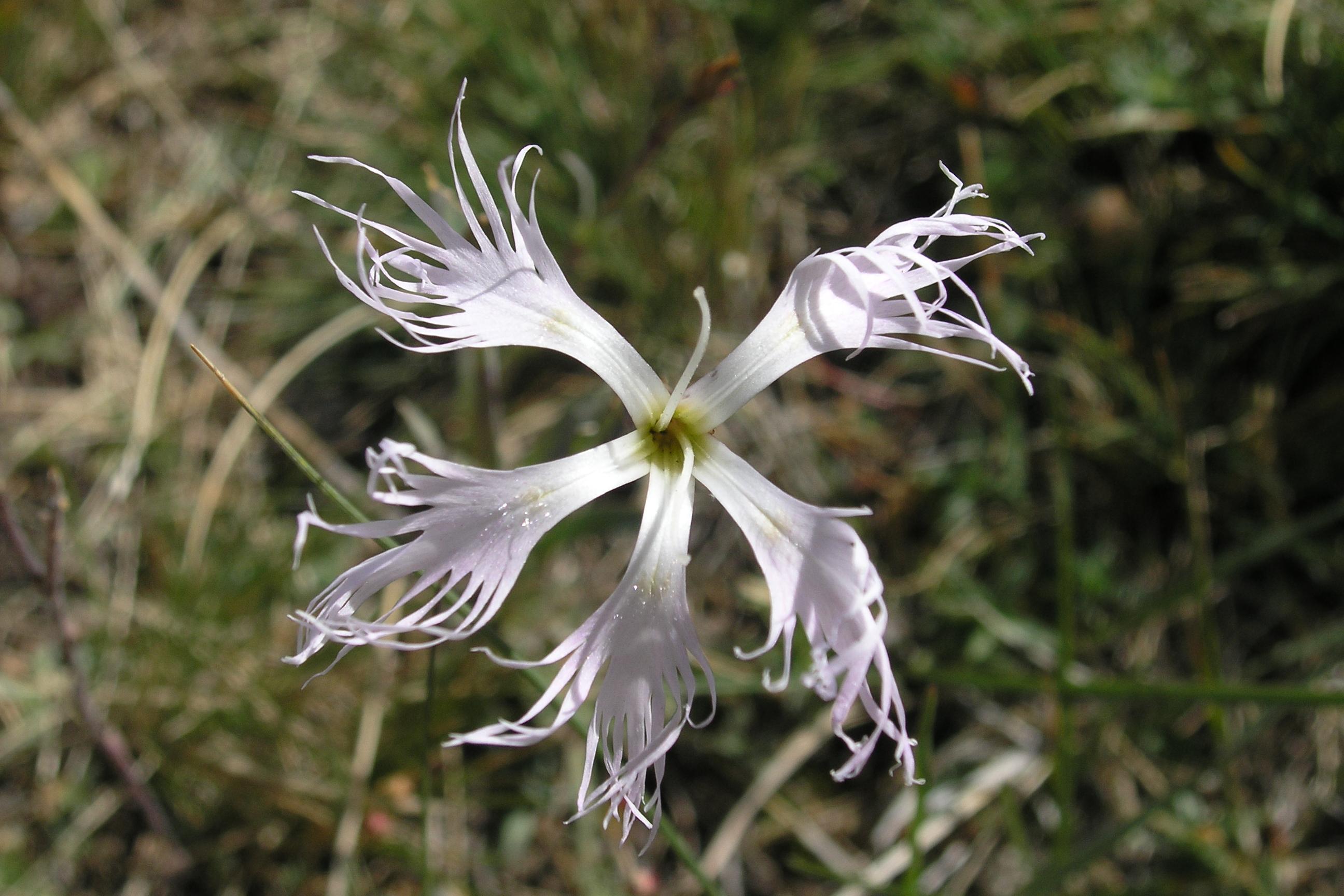 view image: Dianthus superbus L.