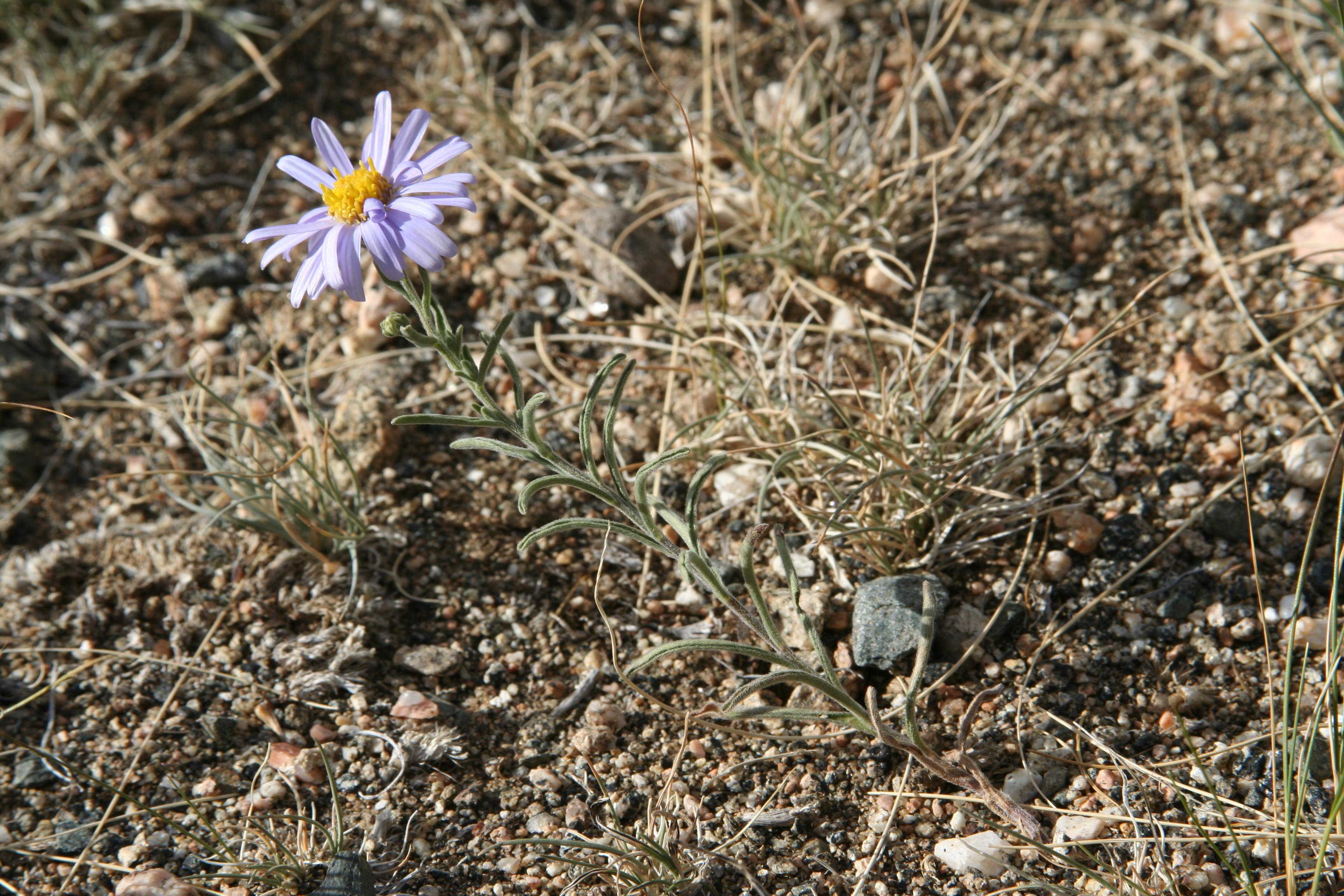 view image: Heteropappus hispidus (Thunb.) Less.