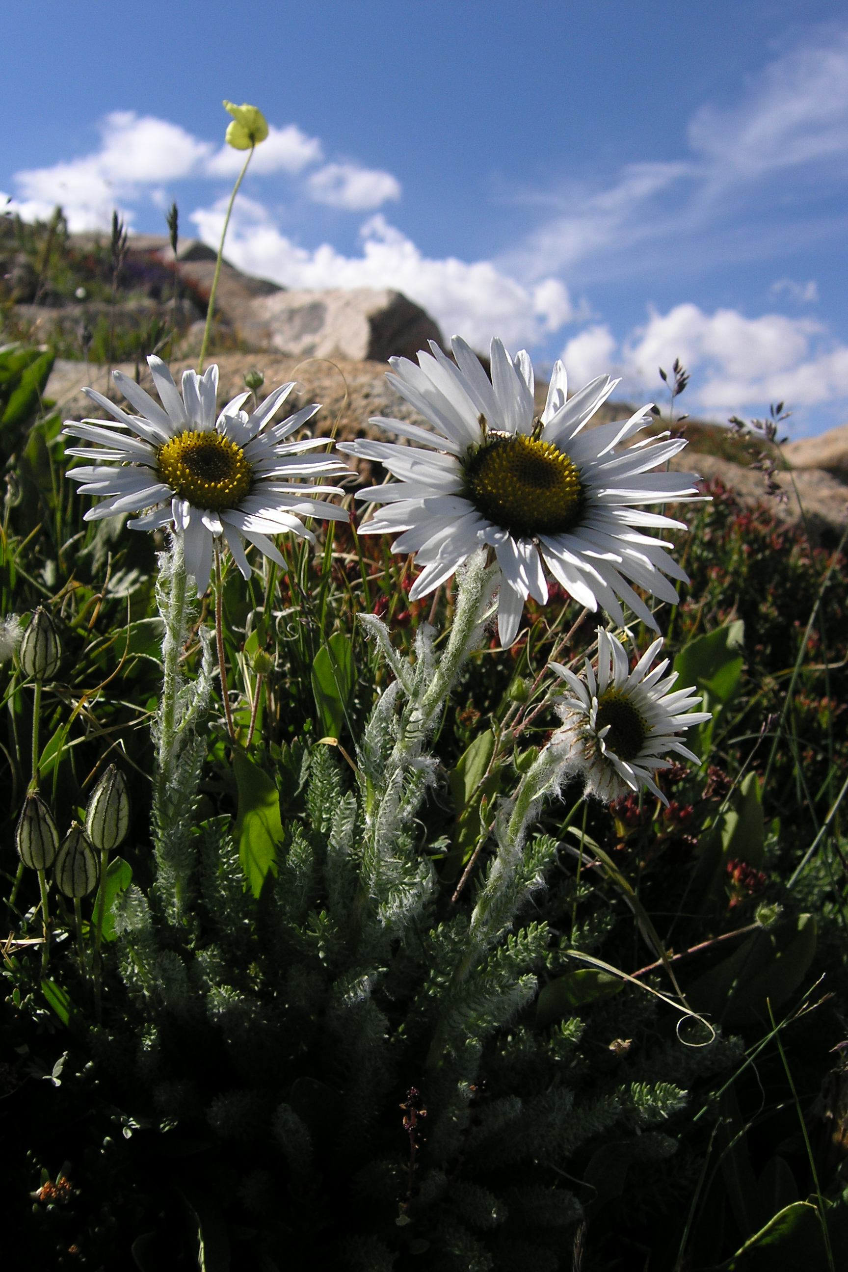 view image: Pyrethrum pulchrum Ledeb.