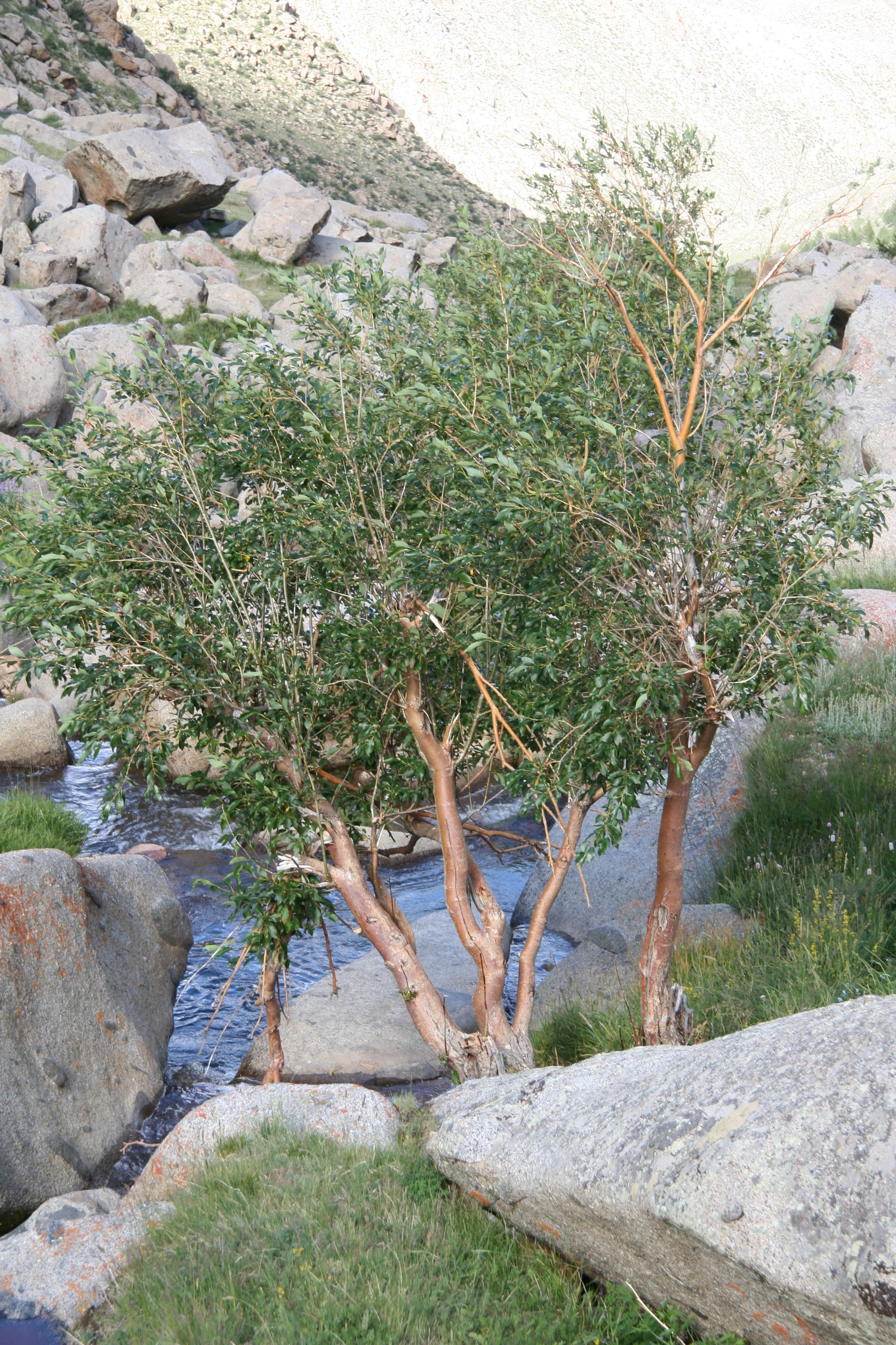 view image: Salix bebbiana Sarg.