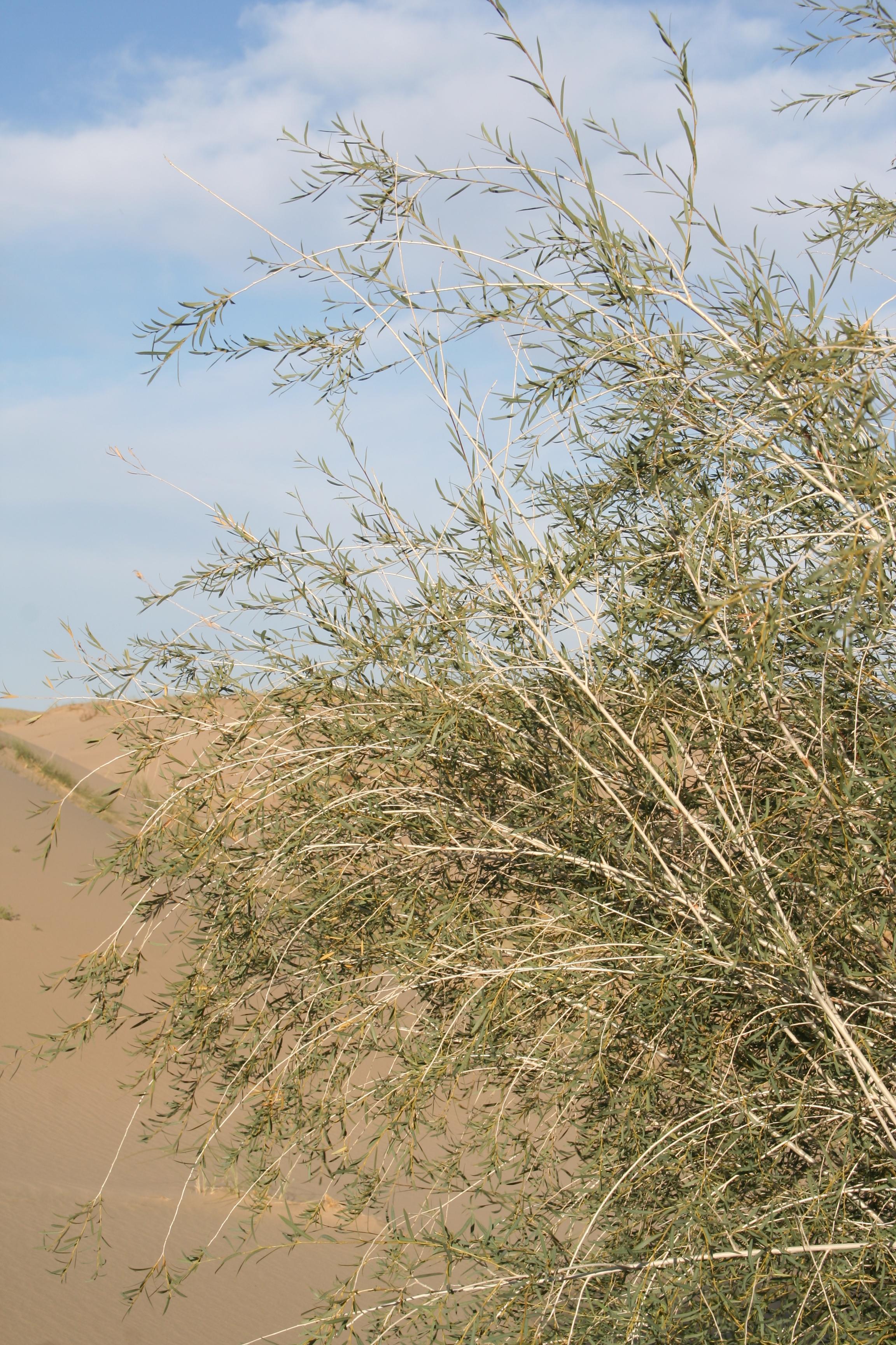 view image: Salix ledebouriana Trautv.