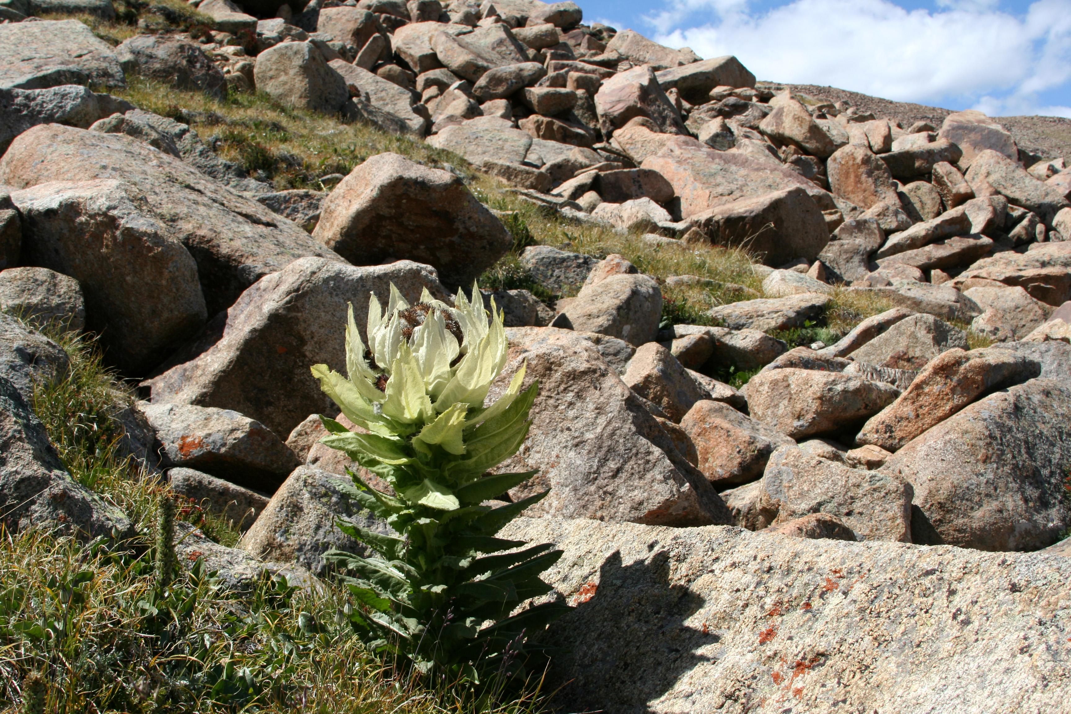 view image: Saussurea involucrata (Kar. et Kir.) Sch. Bip.
