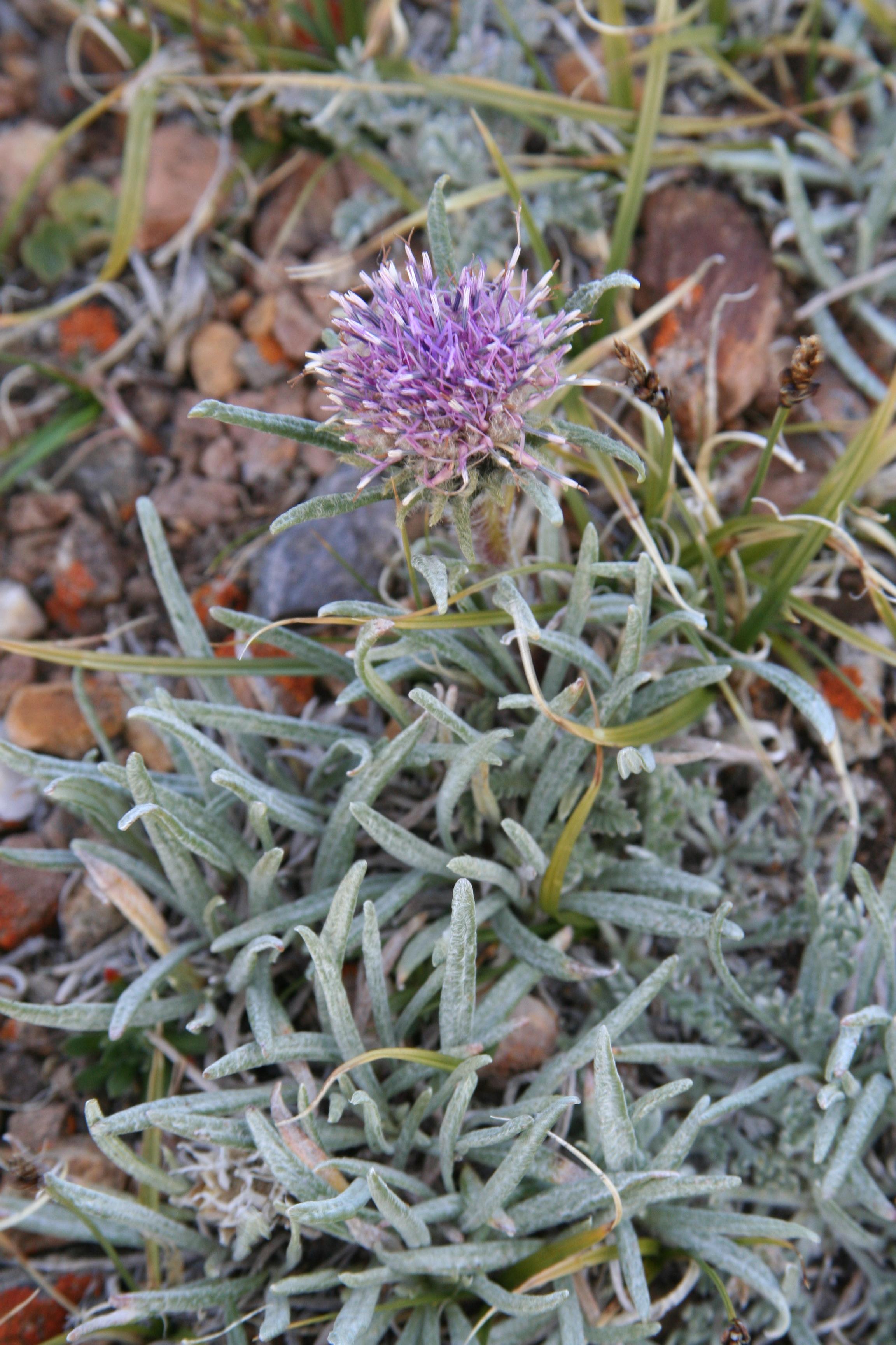 view image: Saussurea leucophylla Schrenk