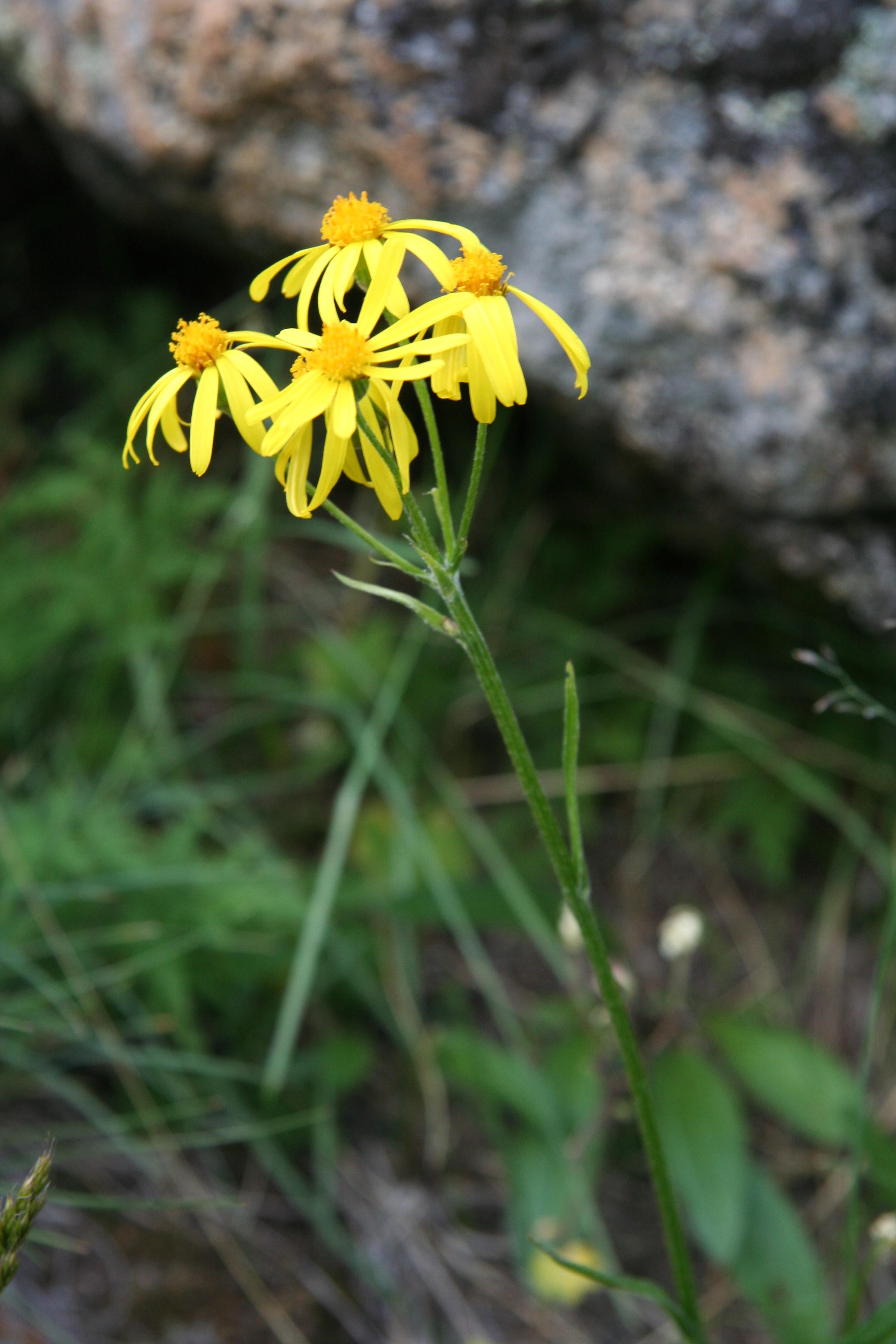 view image: Senecio integrifolius (L.) Clairv.