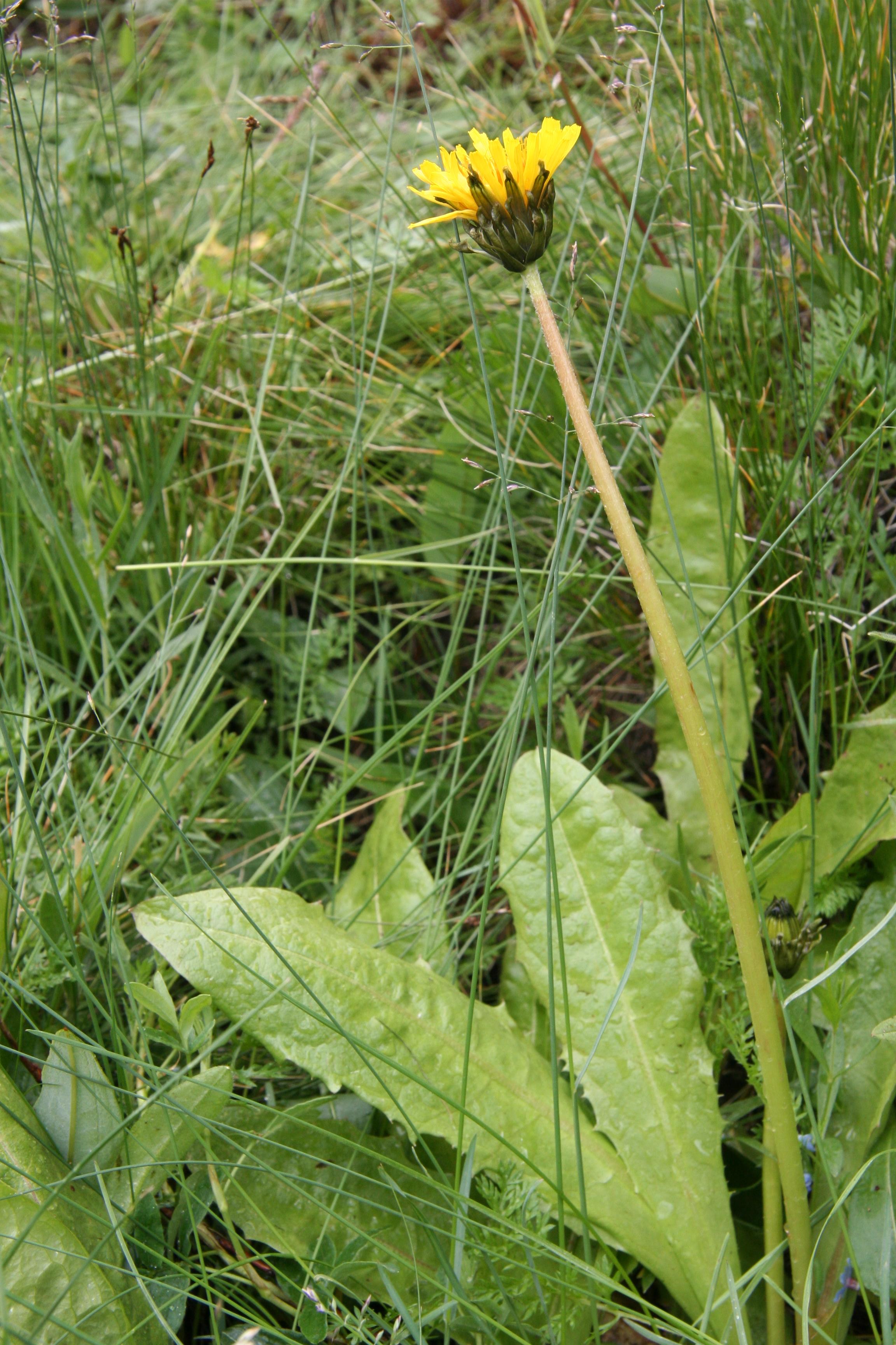 view image: Taraxacum ceratophorum (Ledeb.) DC.
