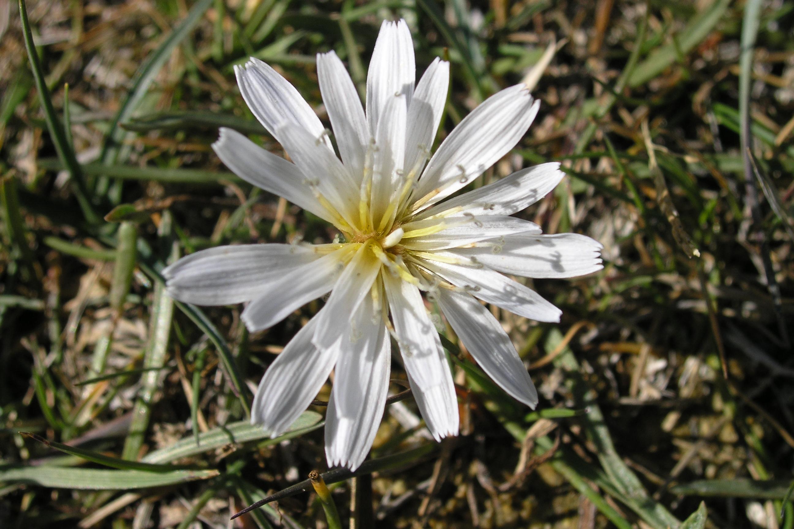 view image: Taraxacum leucanthum (Ledeb.) Ledeb.