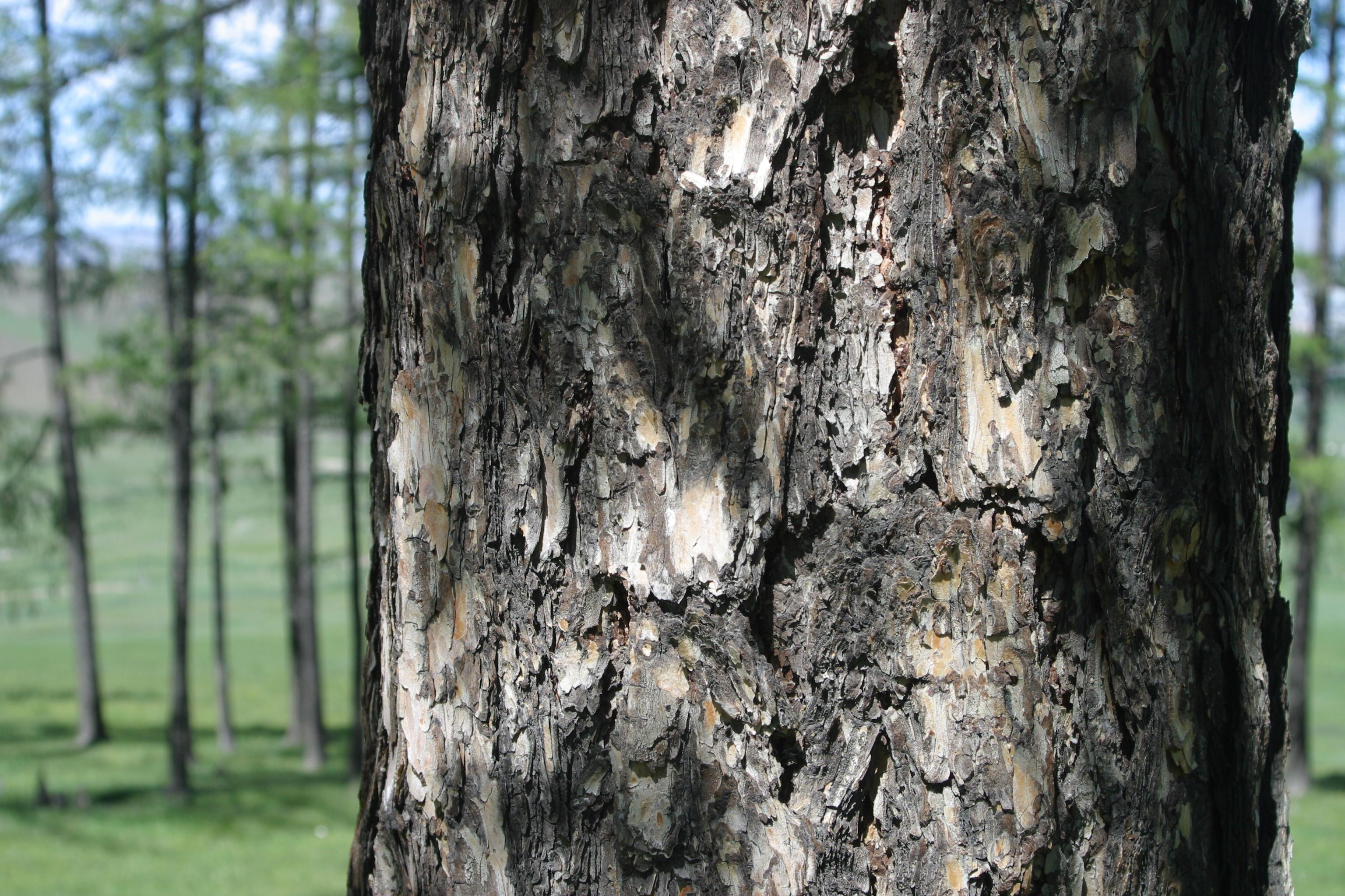 view image: Larix sibirica Ledeb.
