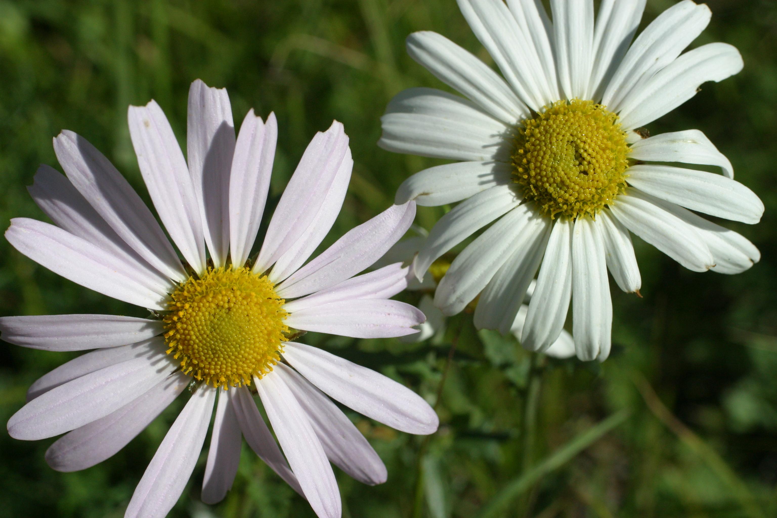view image: Dendranthema zawadskii (Herbich) Tzvel.