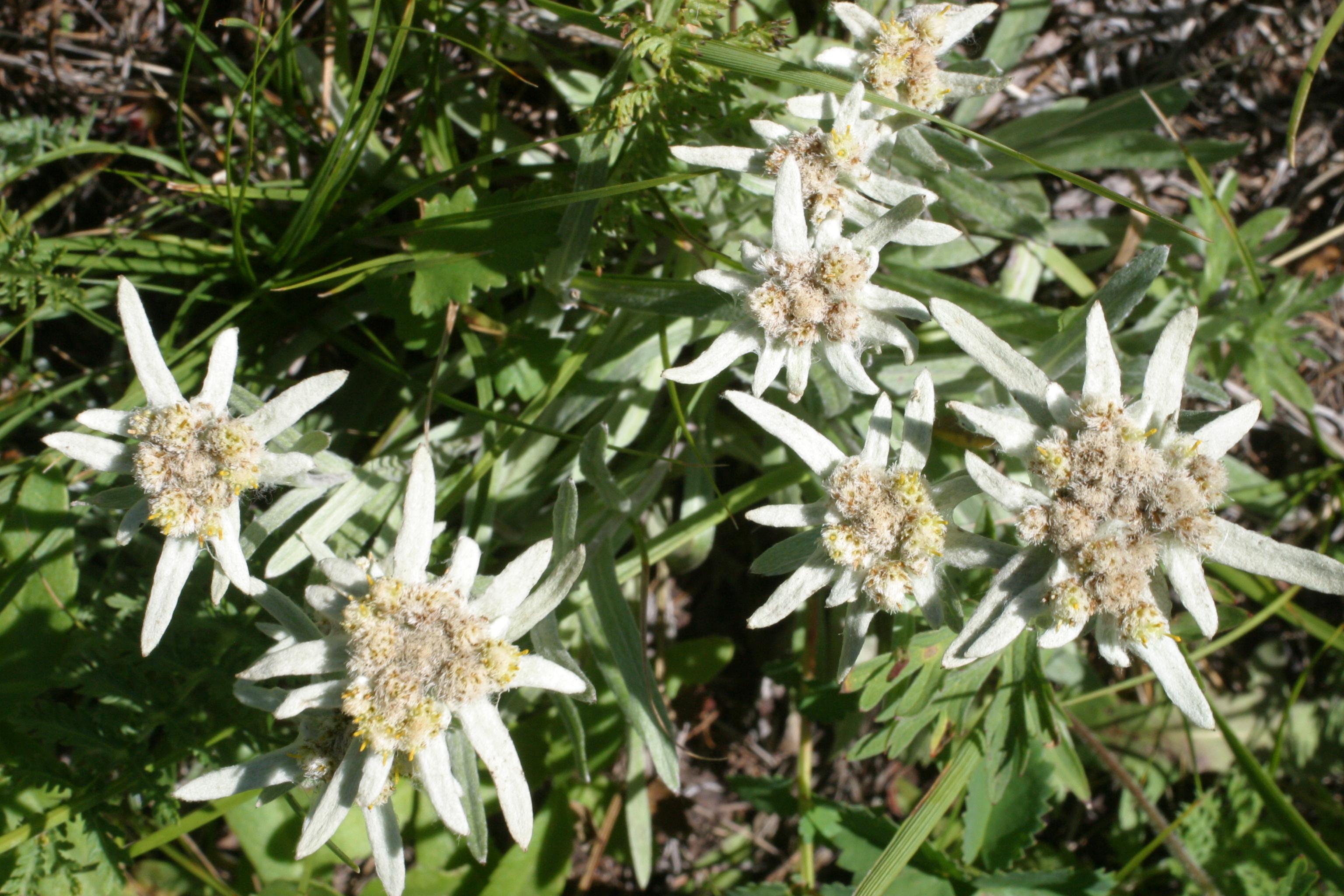 view image: Leontopodium leontopodioides (Willd.) Beauverd