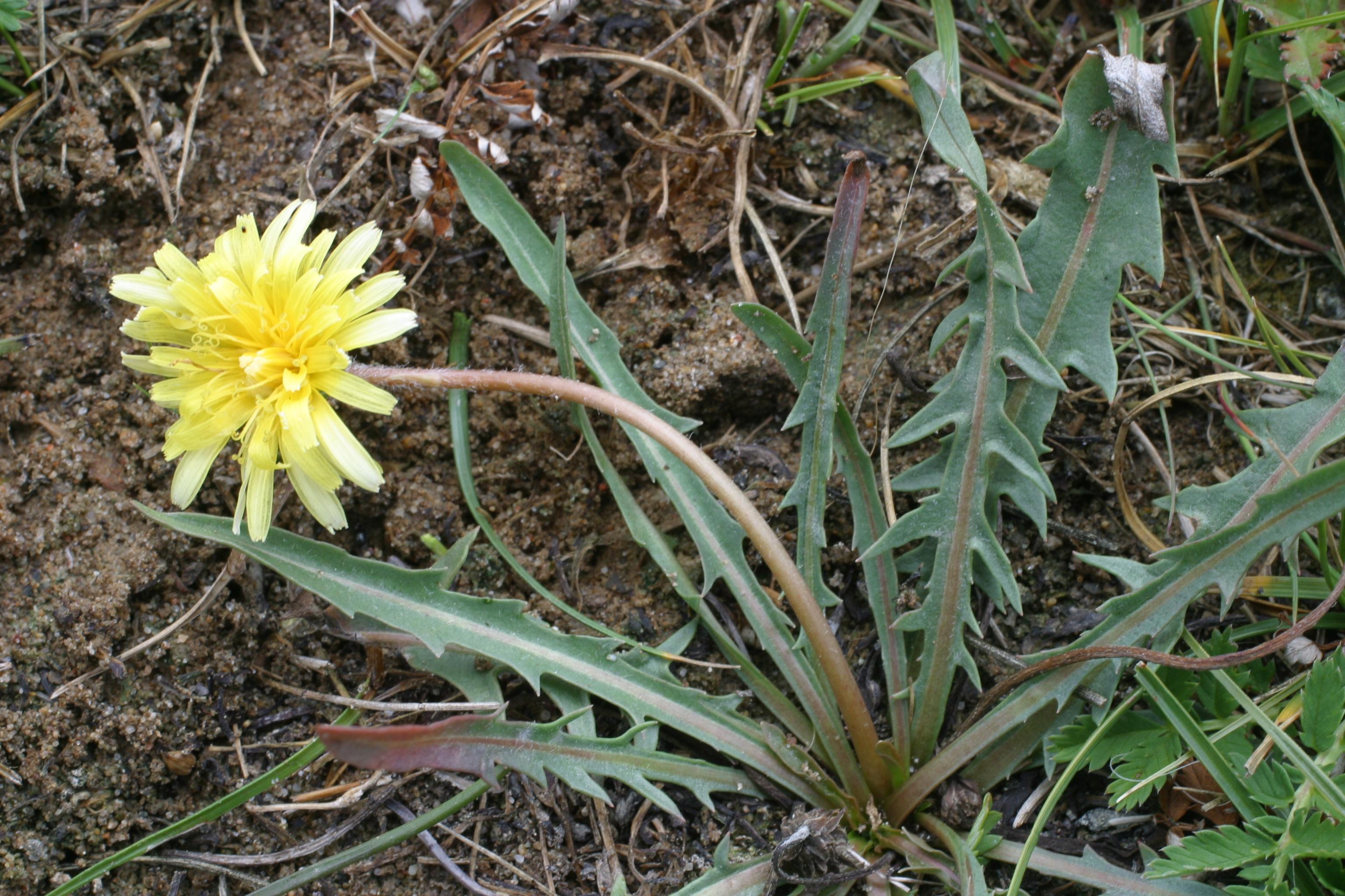 view image: Taraxacum dissectum (Ledeb.) Ledeb.
