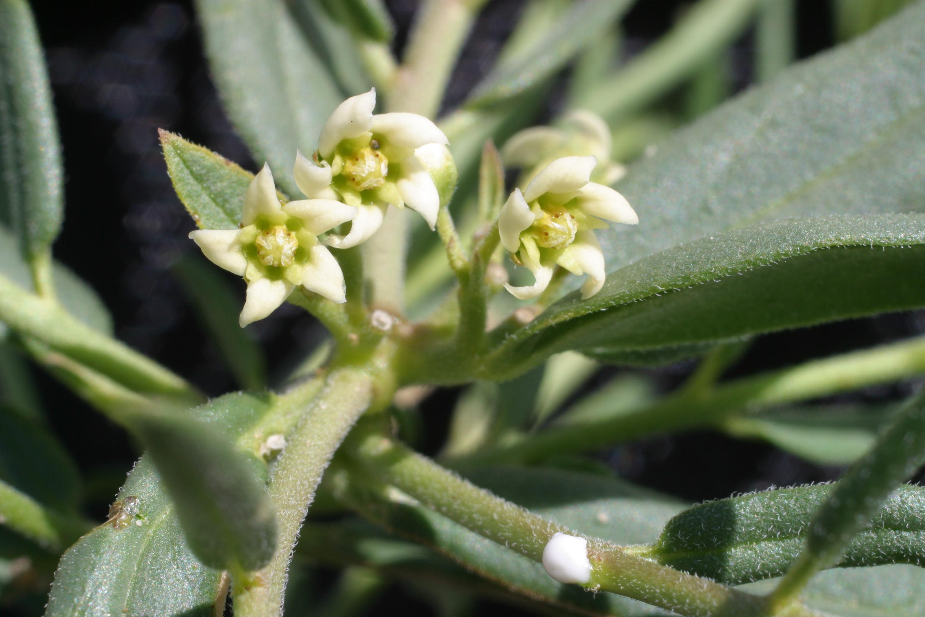 view image: Vincetoxicum sibiricum (L.) Decne.
