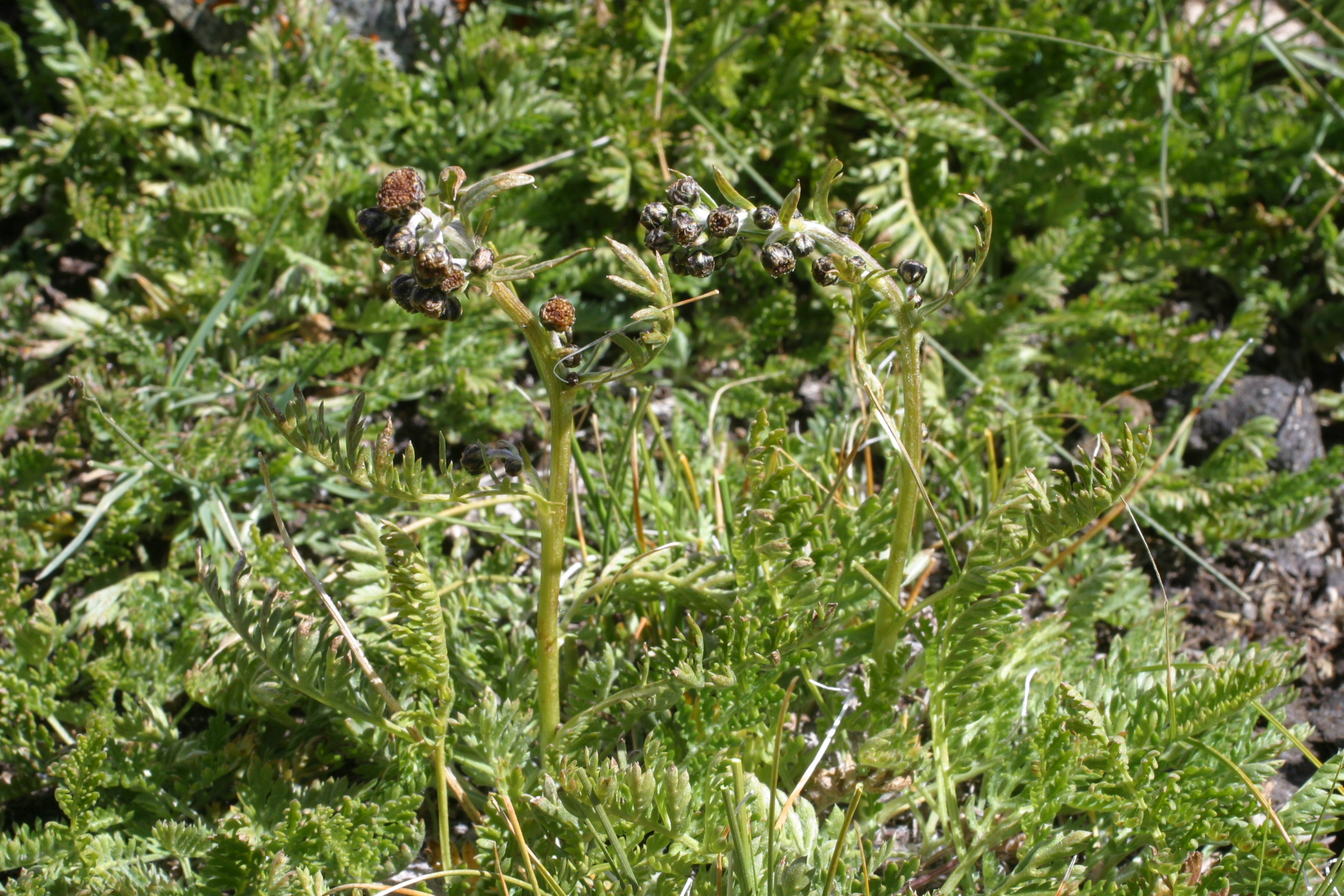 view image: Artemisia phaeolepis Krasch.