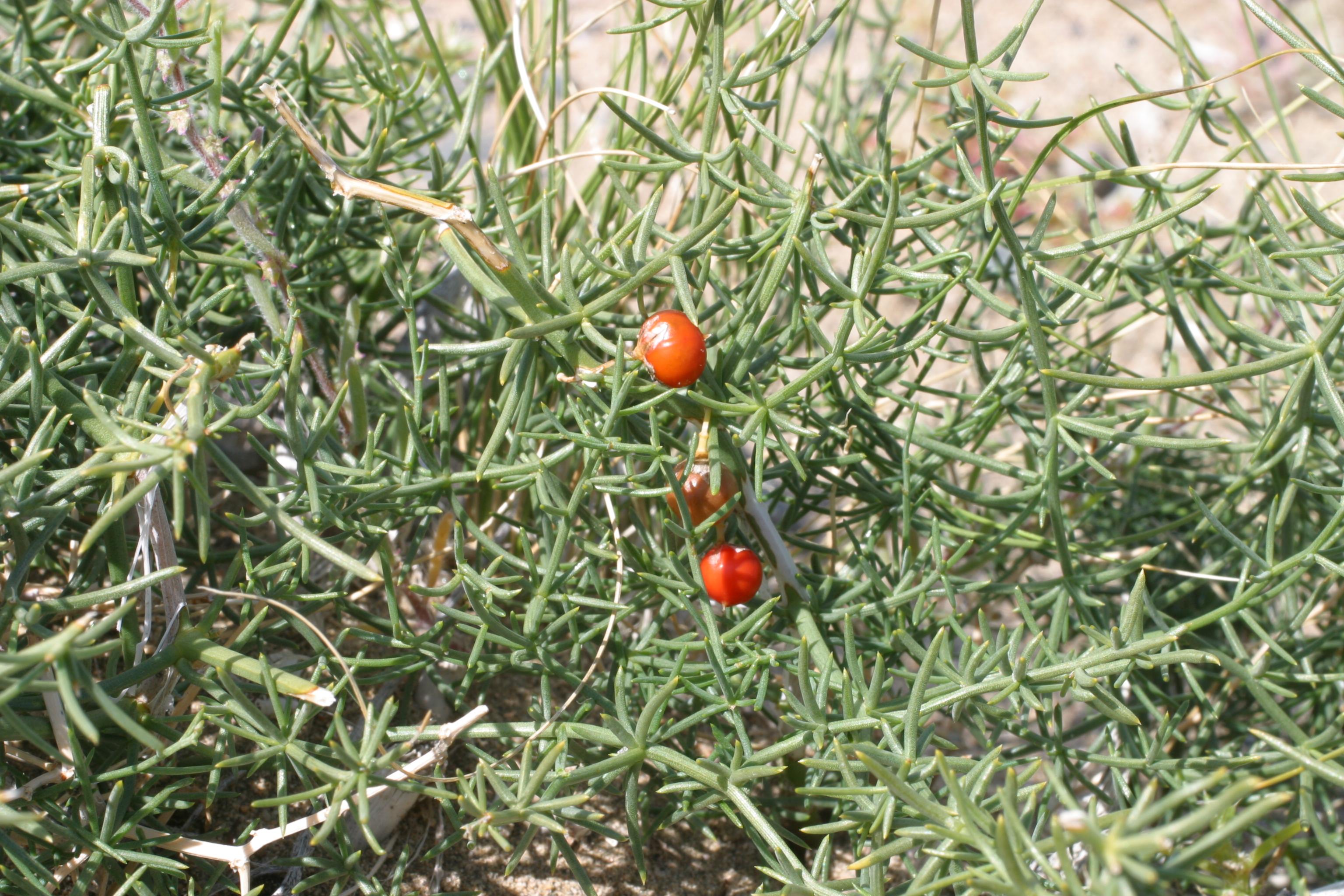 view image: Asparagus gobicus Ivanova ex Grub.