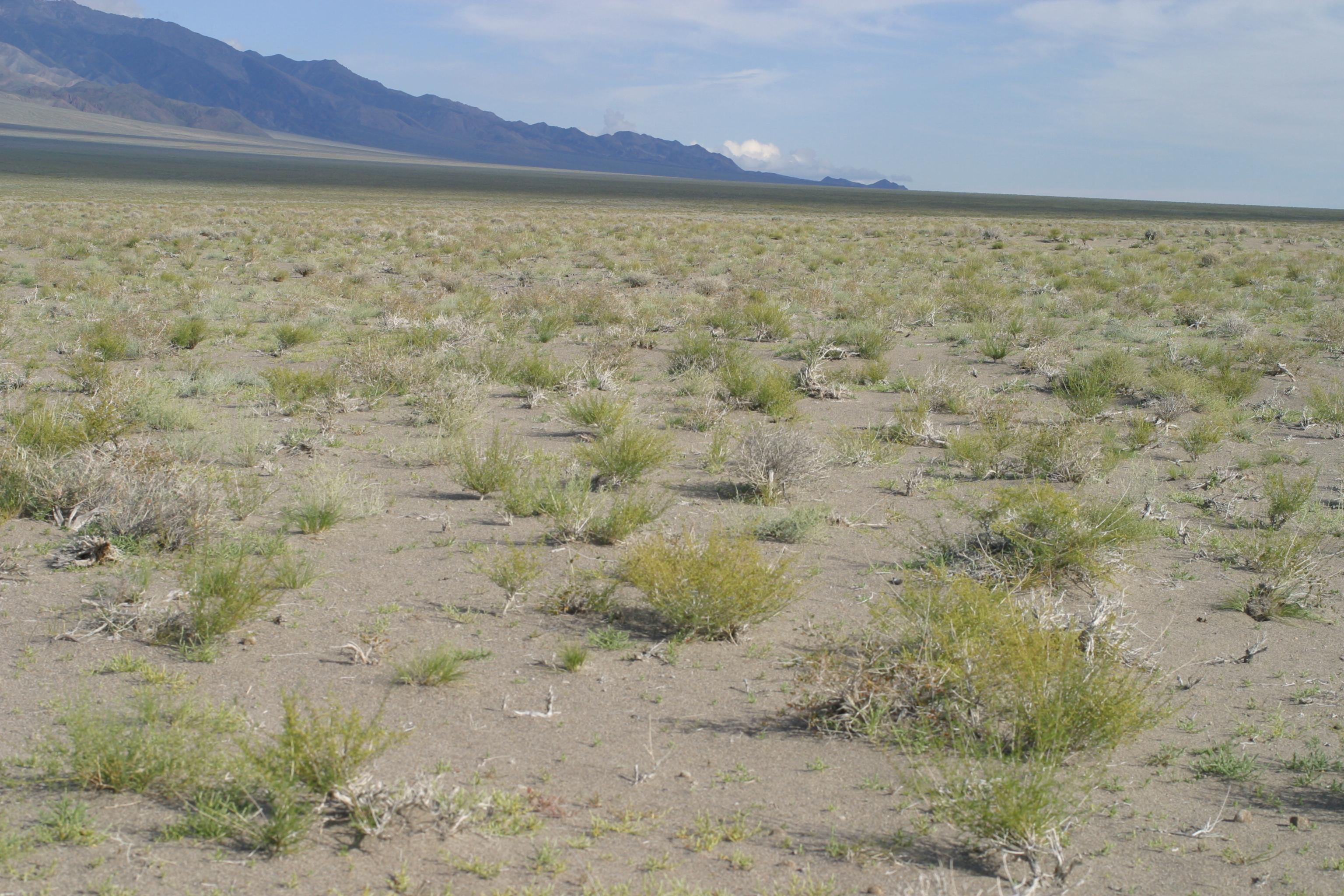 view image: Artemisia sphaerocephala Krasch.