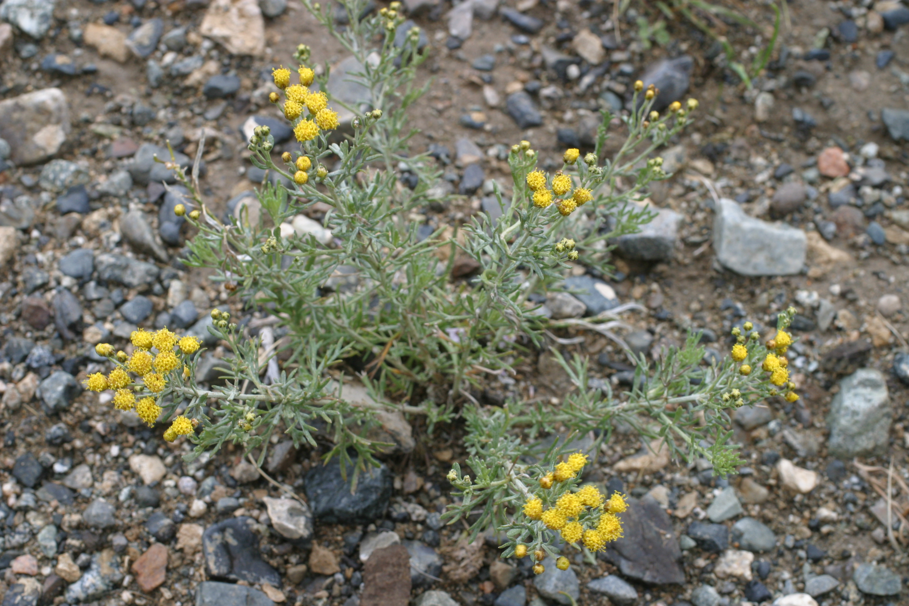view image: Ajania fruticulosa (Ledeb.) Poljak.