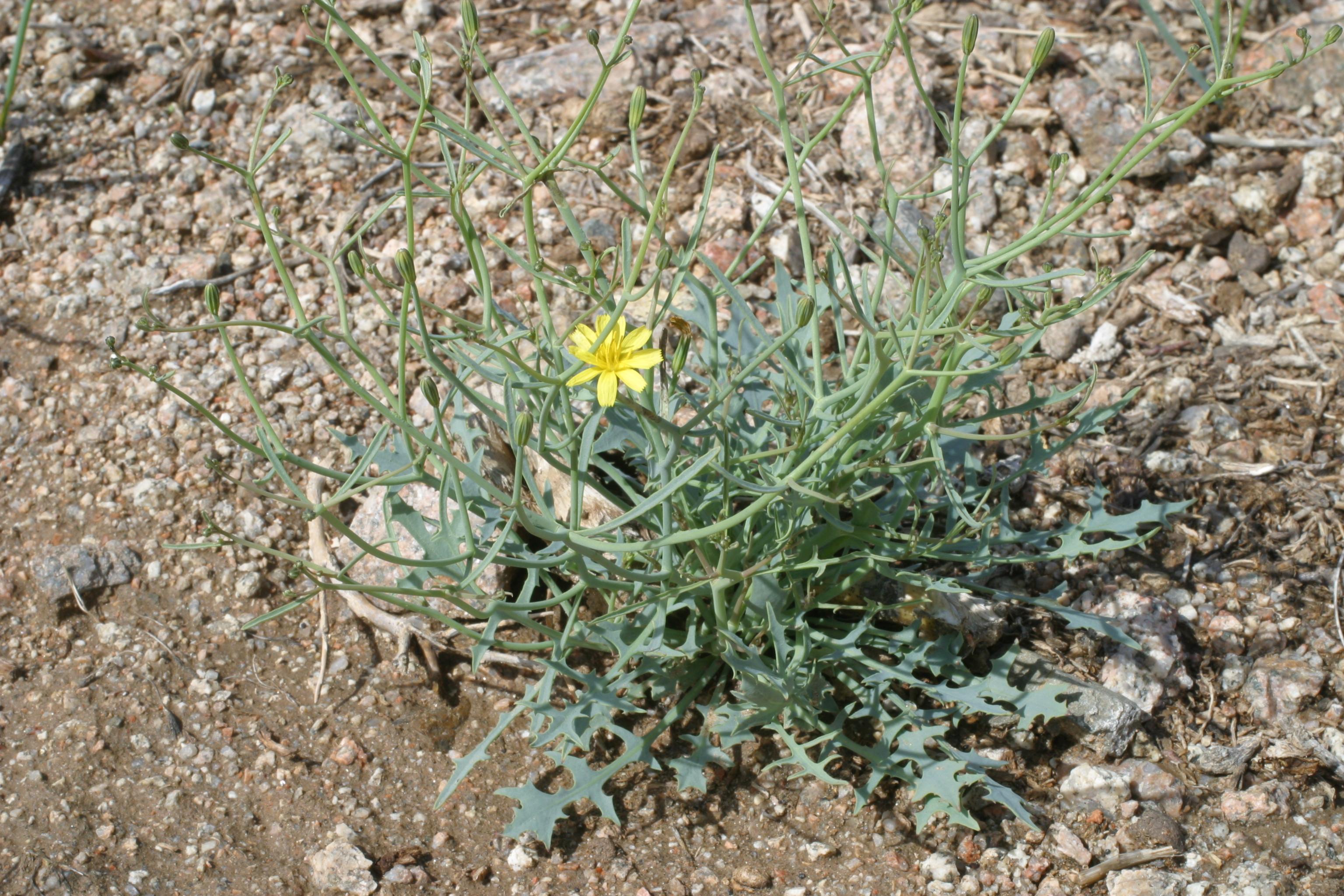 view image: Askellia flexuosa (Ledeb.) W. A. Weber