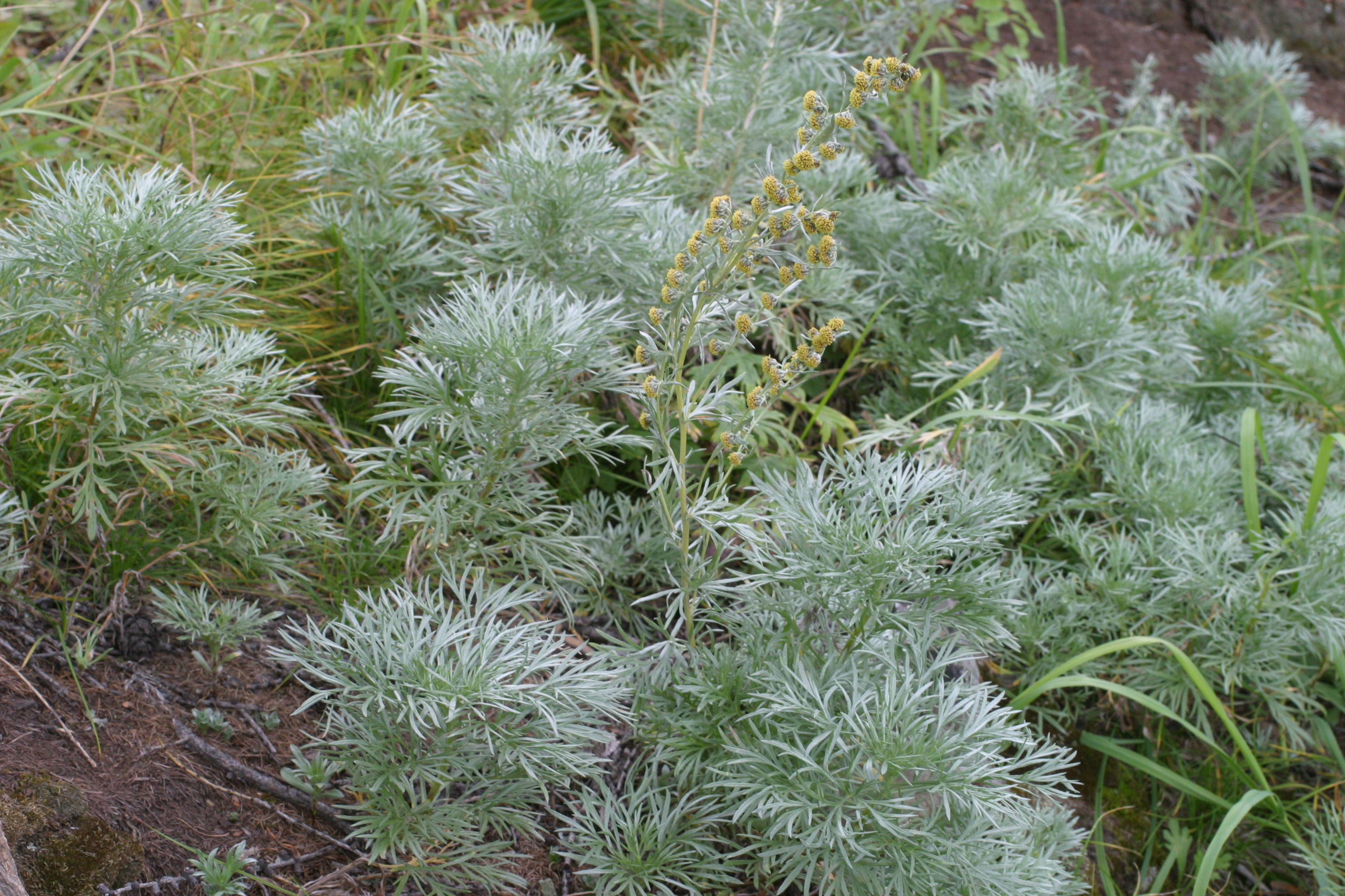 view image: Artemisia sericea Web. ex Stechm.