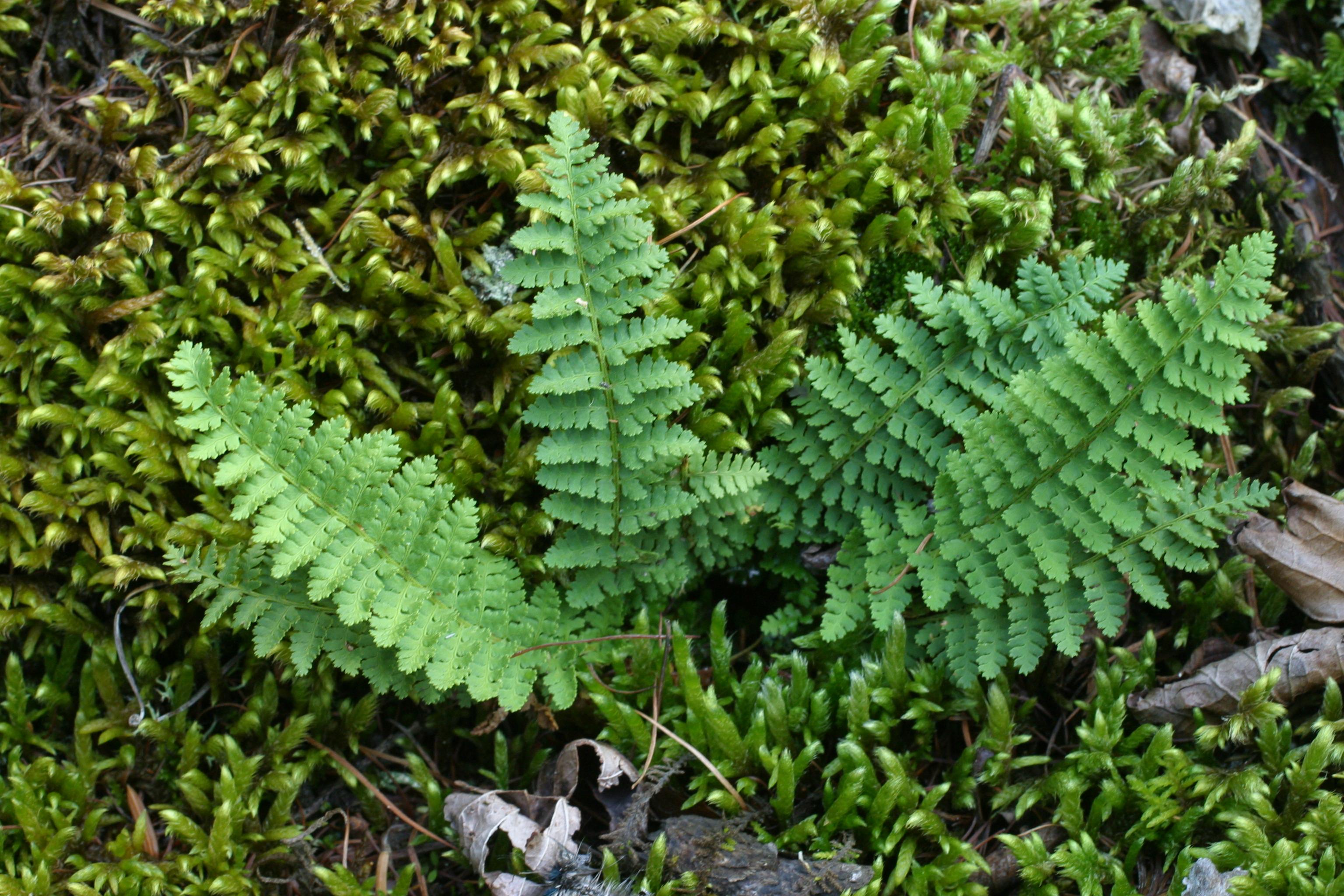 view image: Dryopteris fragrans (L.) Schott