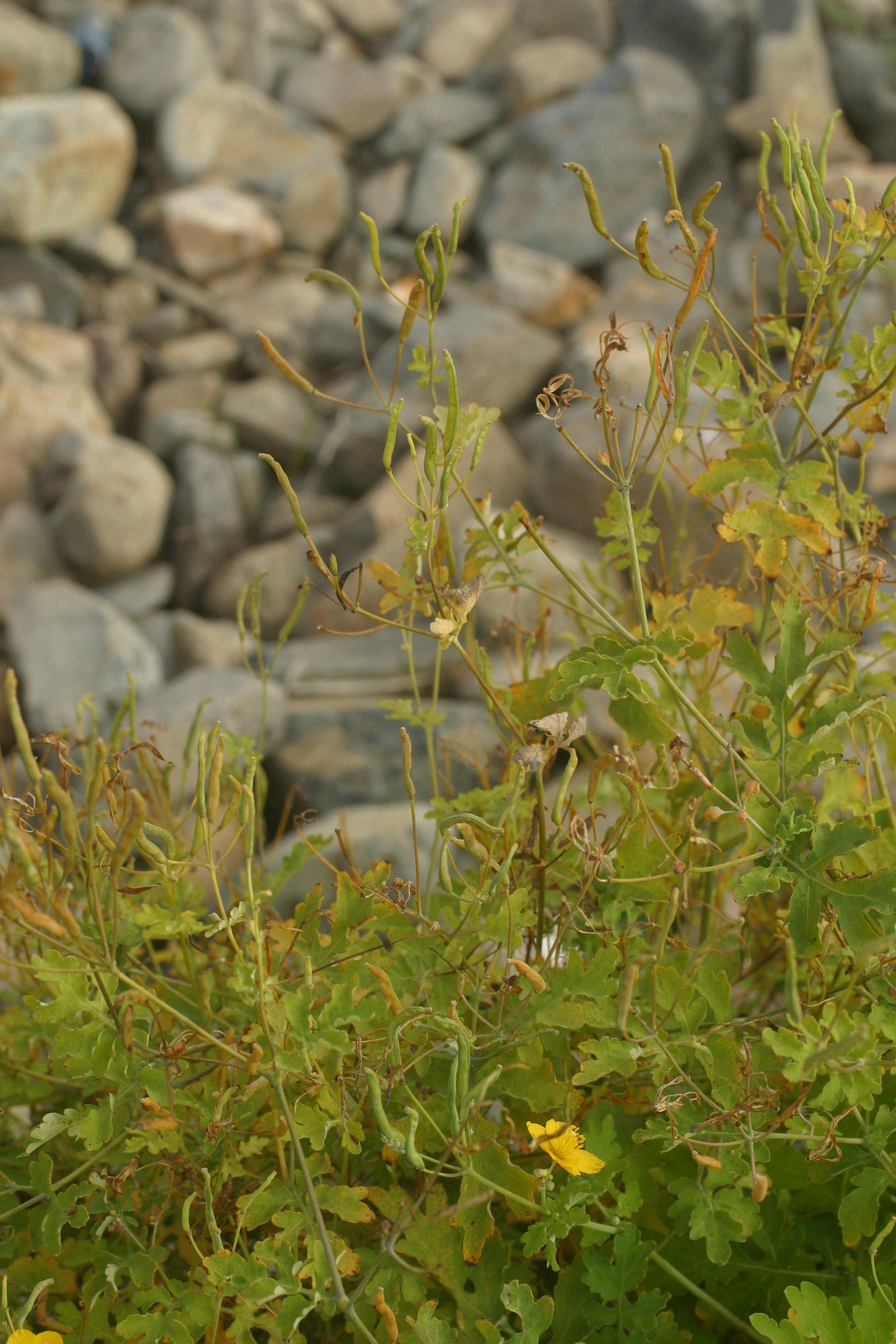 view image: Chelidonium majus L.