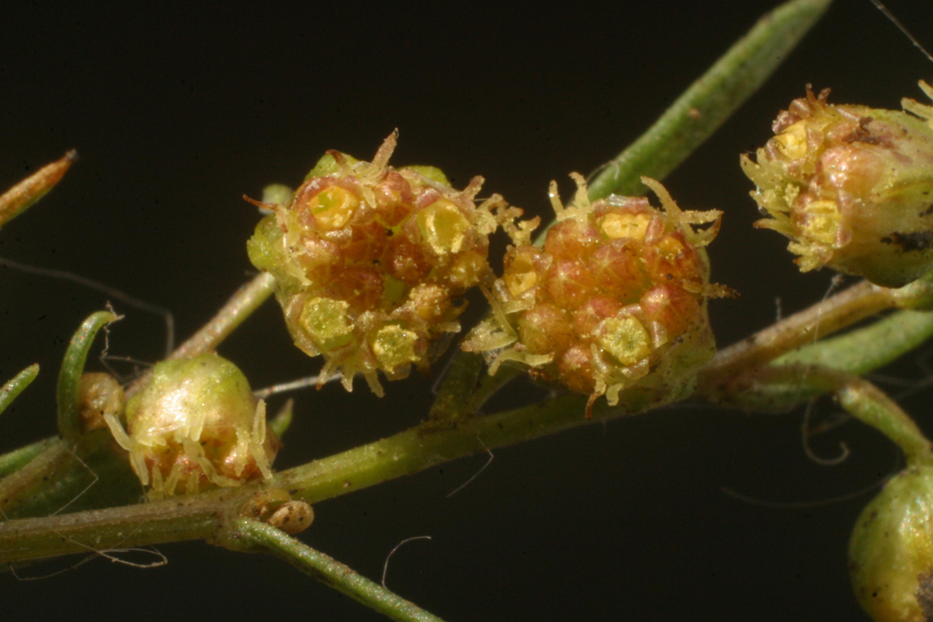 view image: Artemisia dracunculus L.