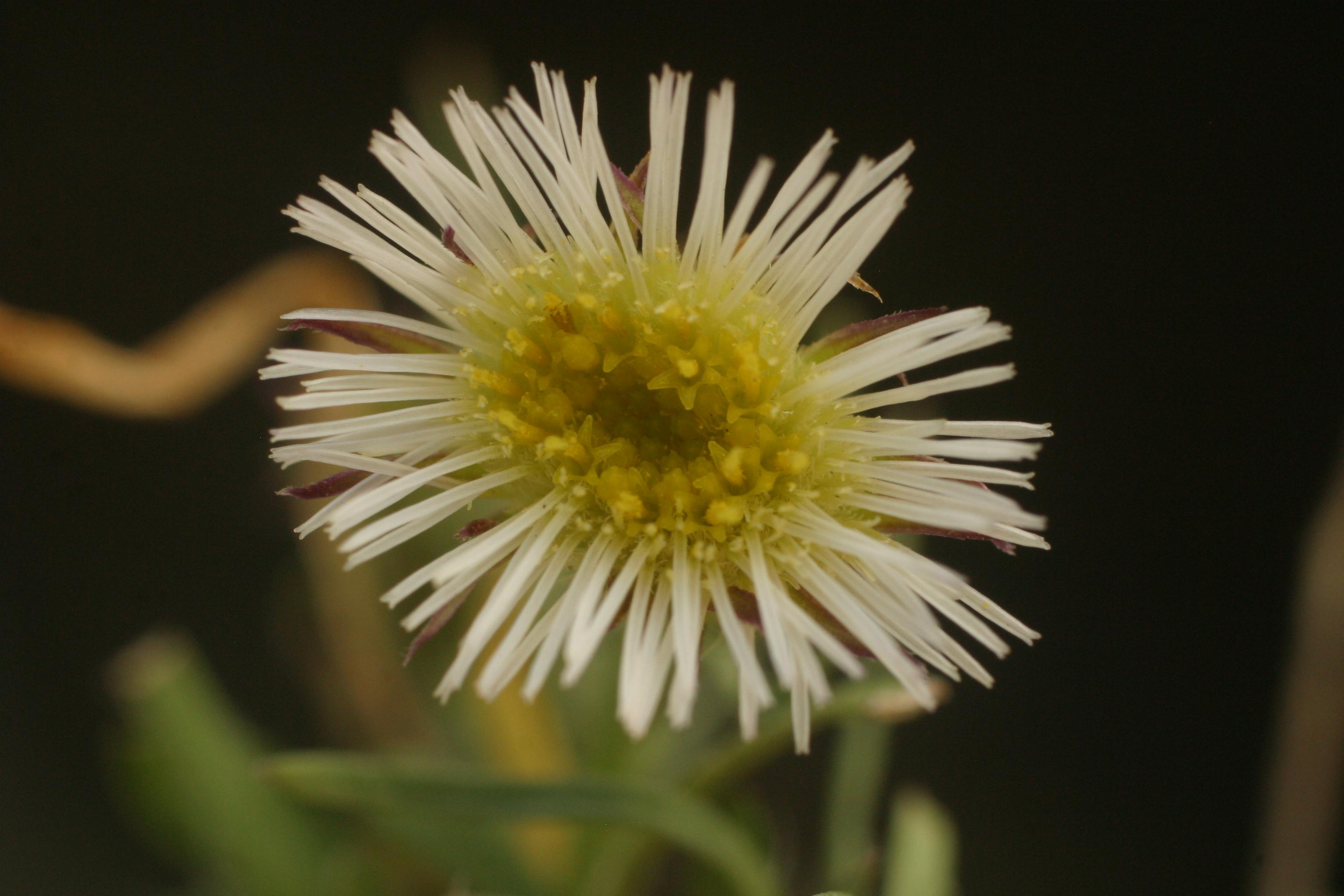 view image: Erigeron lonchophyllus Hook.