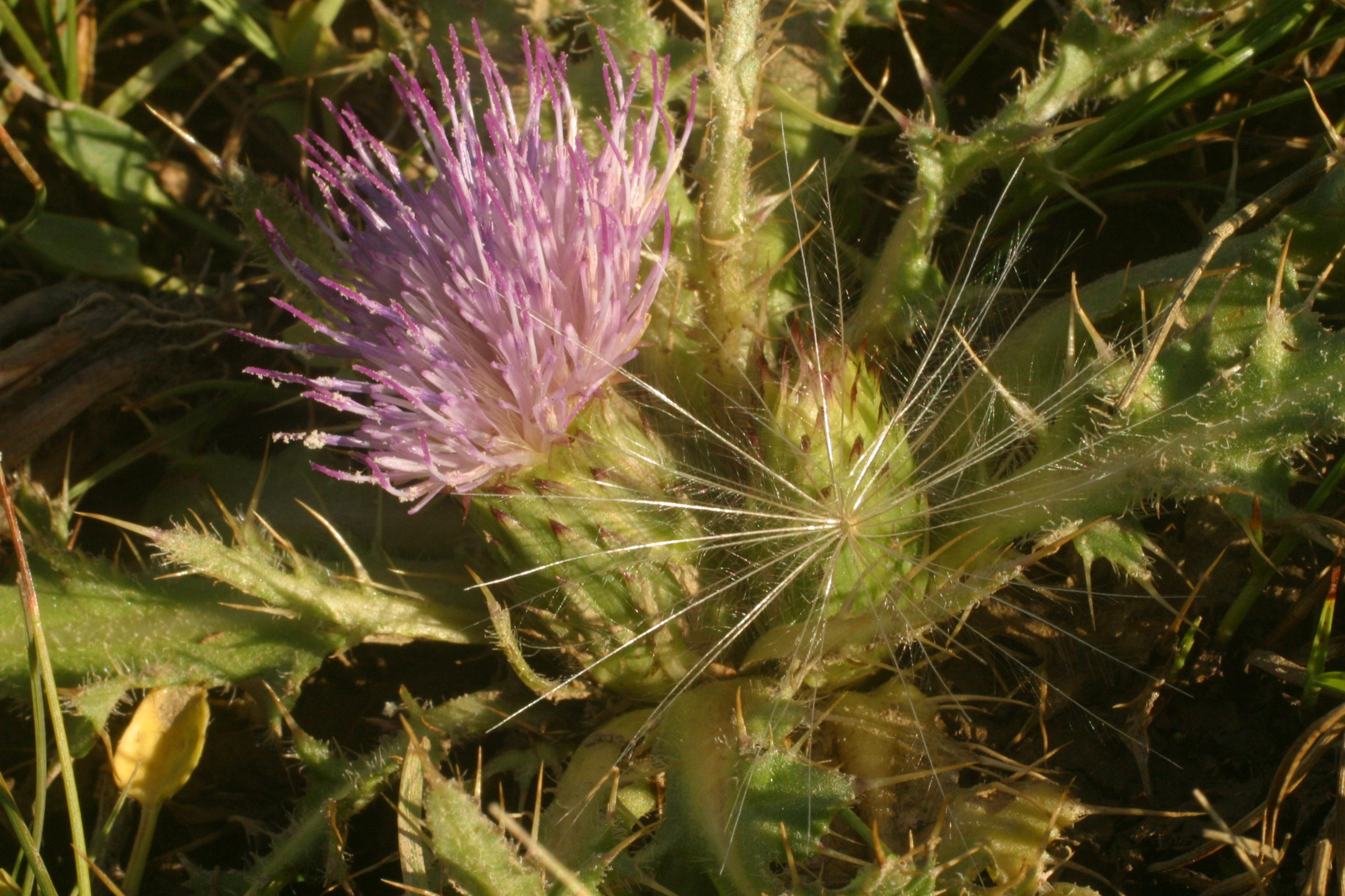 view image: Cirsium esculentum (Siev.) C. A. Mey.