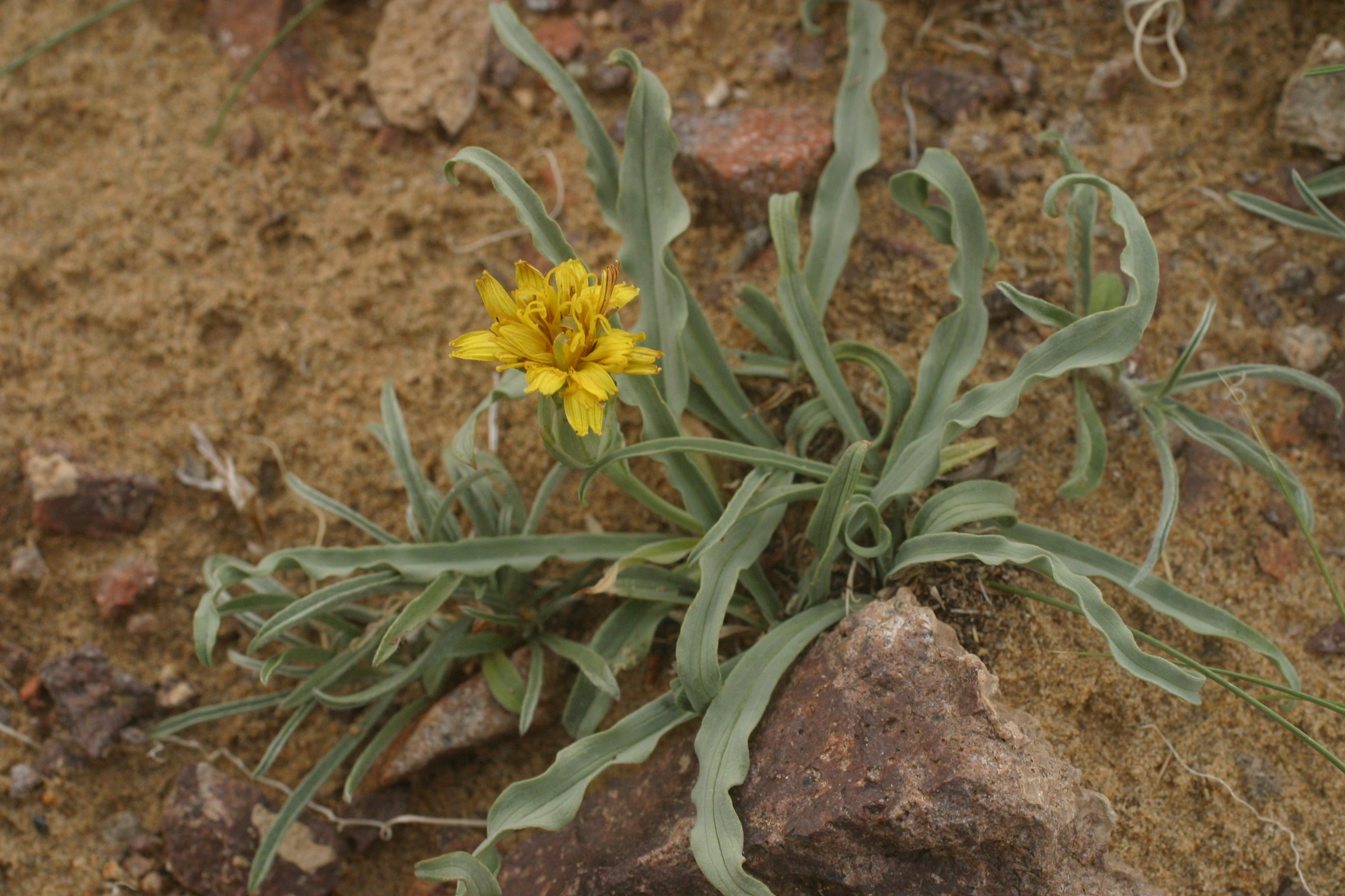 view image: Scorzonera ikonnikovii Lipsch. et Krasch.