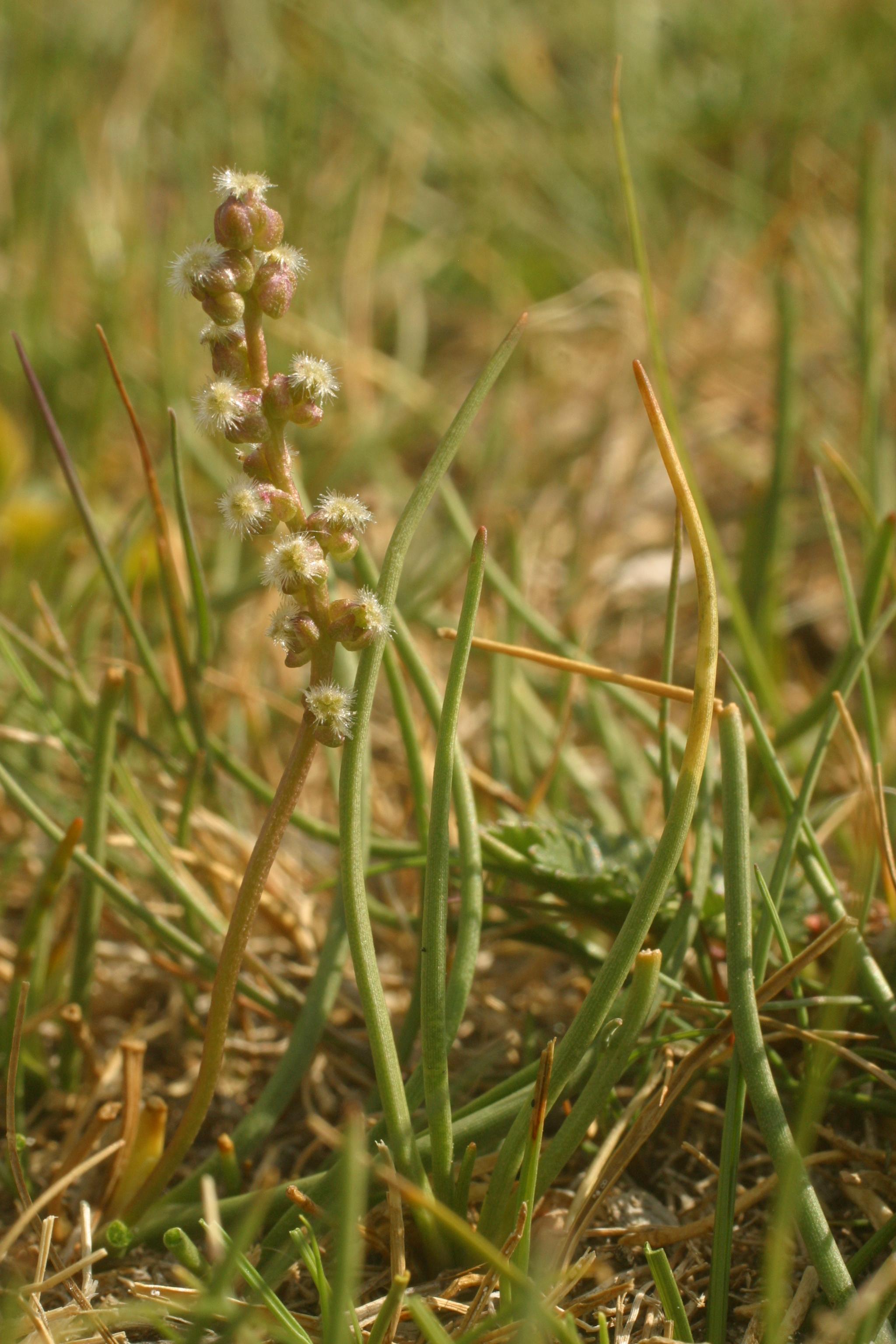 view image: Triglochin palustris L.