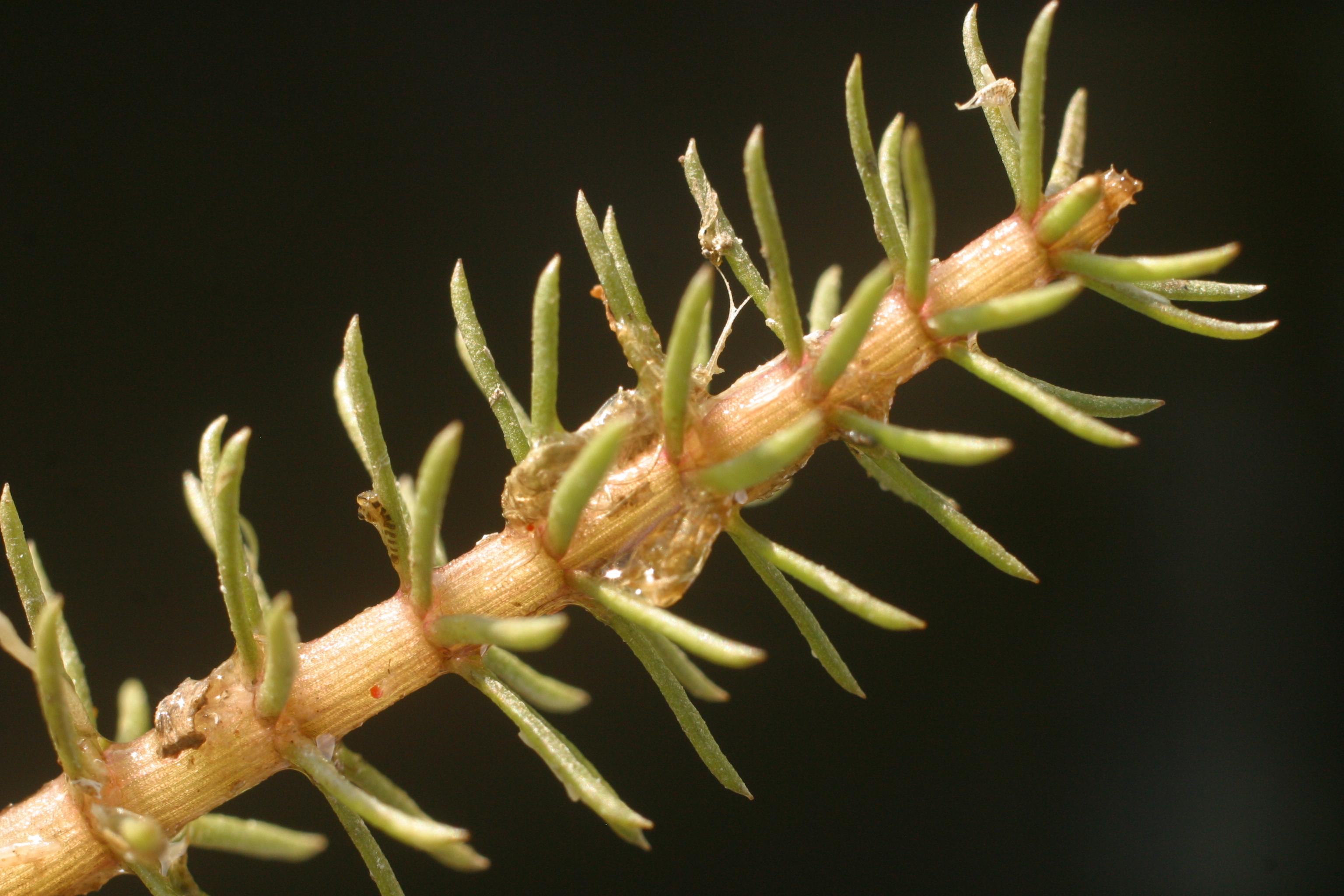 view image: Hippuris vulgaris L.