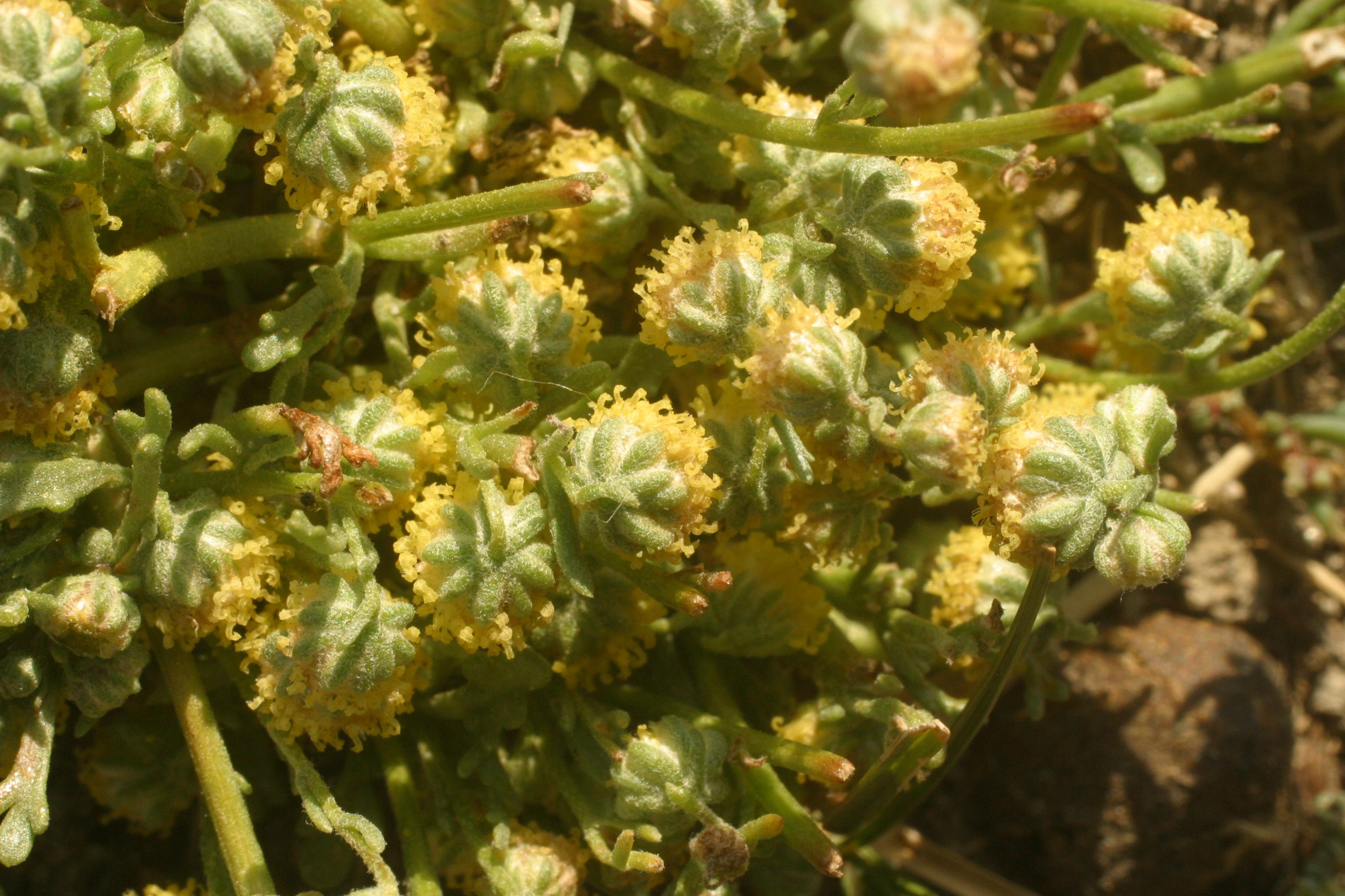 view image: Stilpnolepis intricata (Franch.) Shih