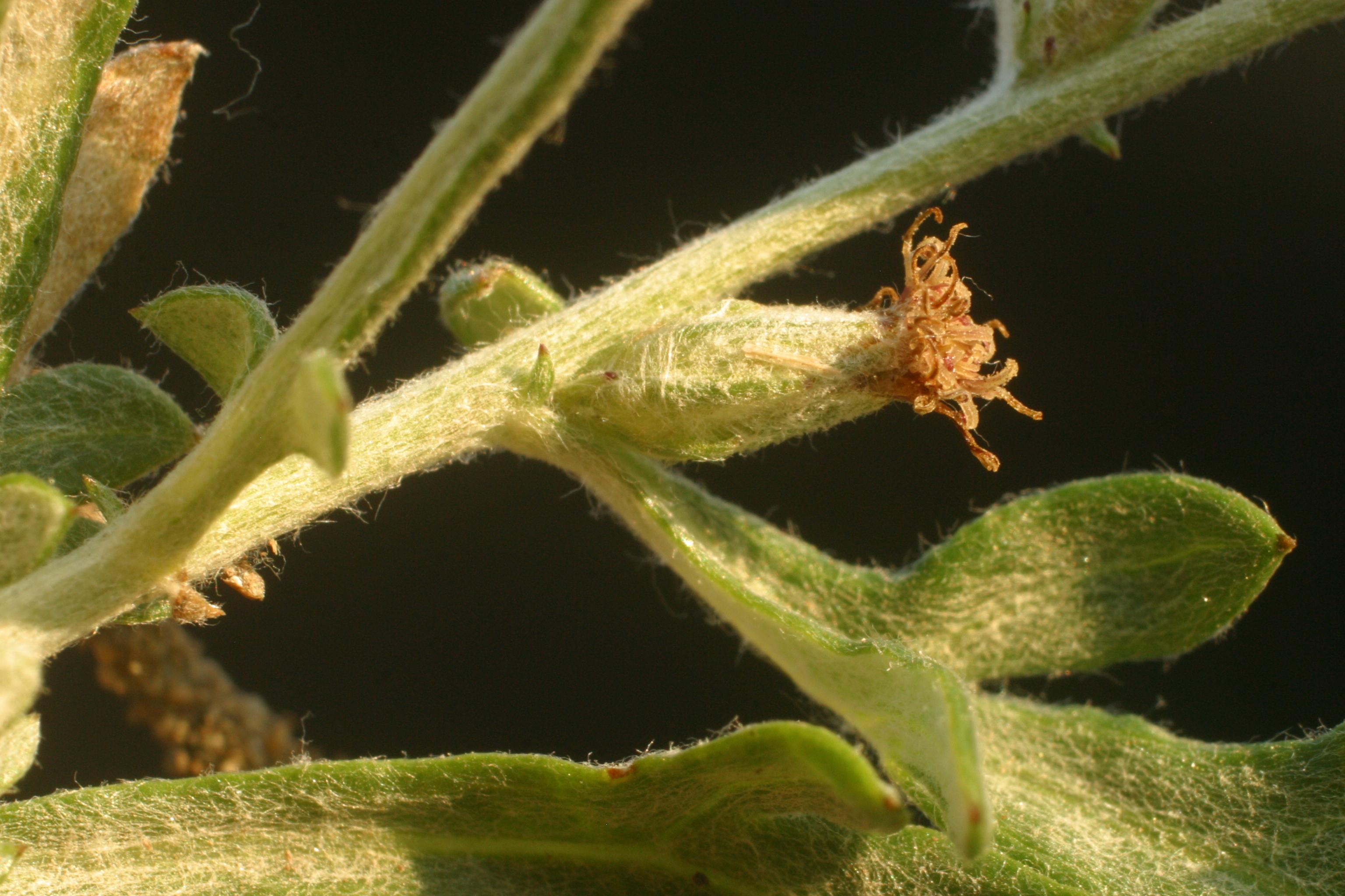 view image: Artemisia mongolica (Bess.) Fisch. ex Nakai
