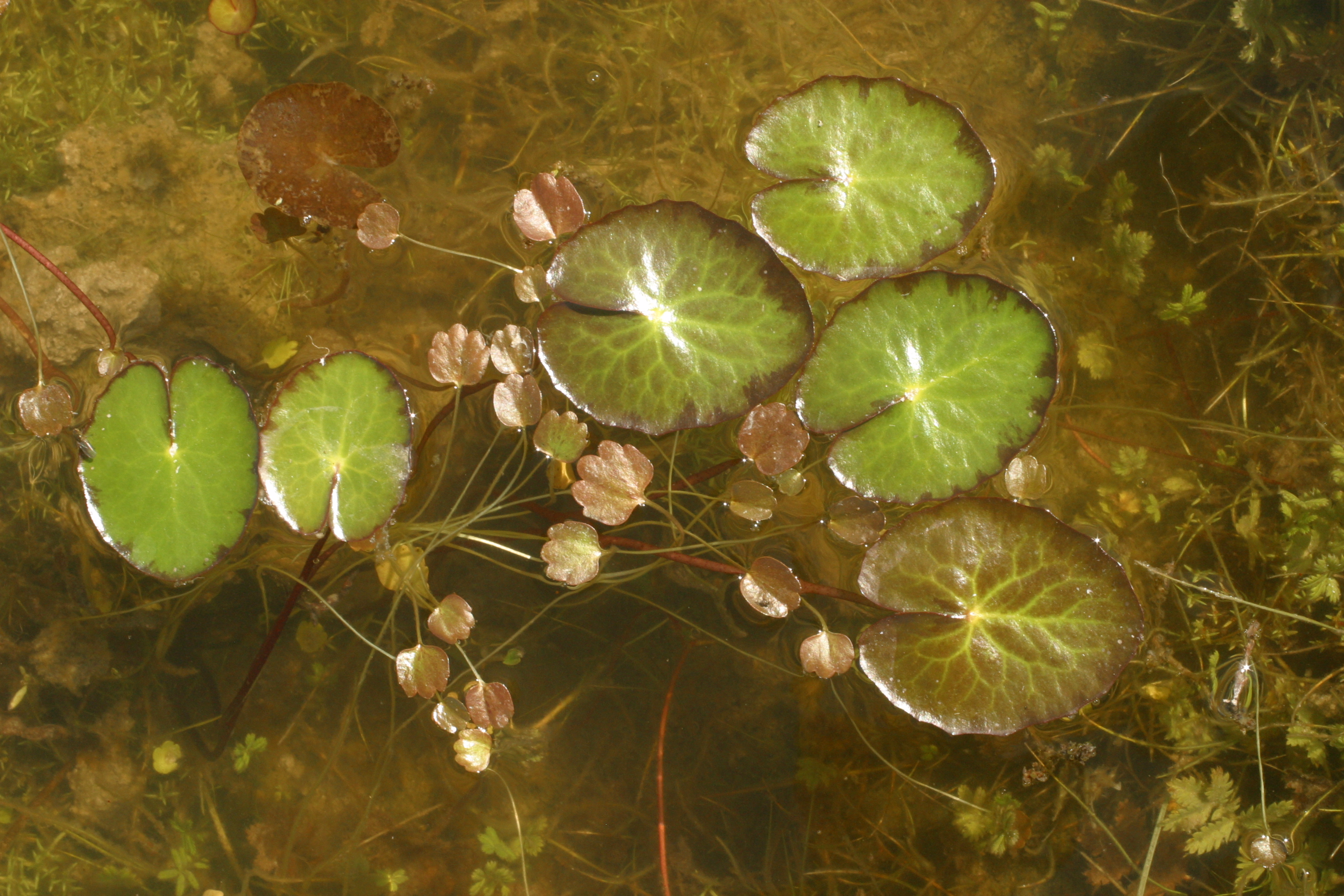 view image: Nymphoides peltata (S. G. Gmel.) O. Kuntze